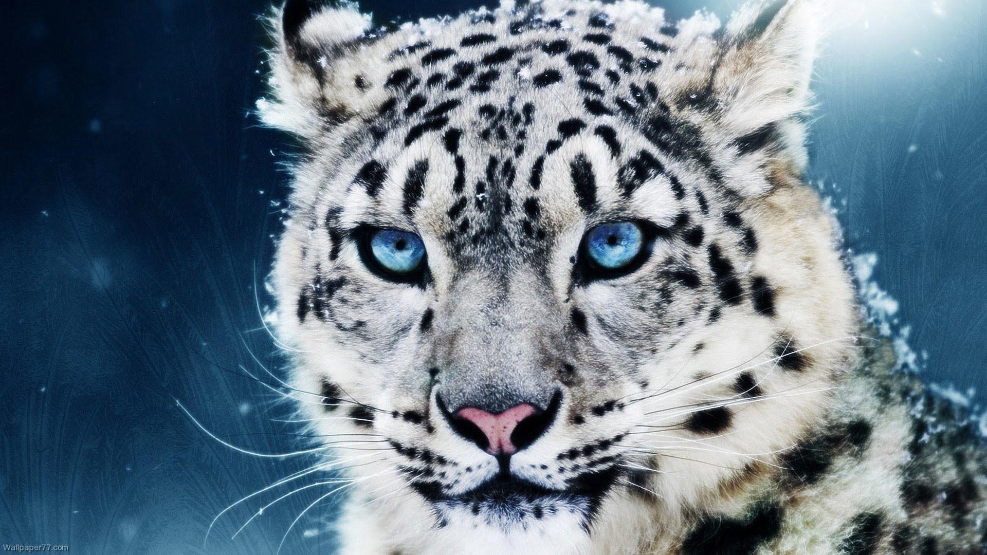 hd pics photos animals cool tiger snow desktop background wallpaper
