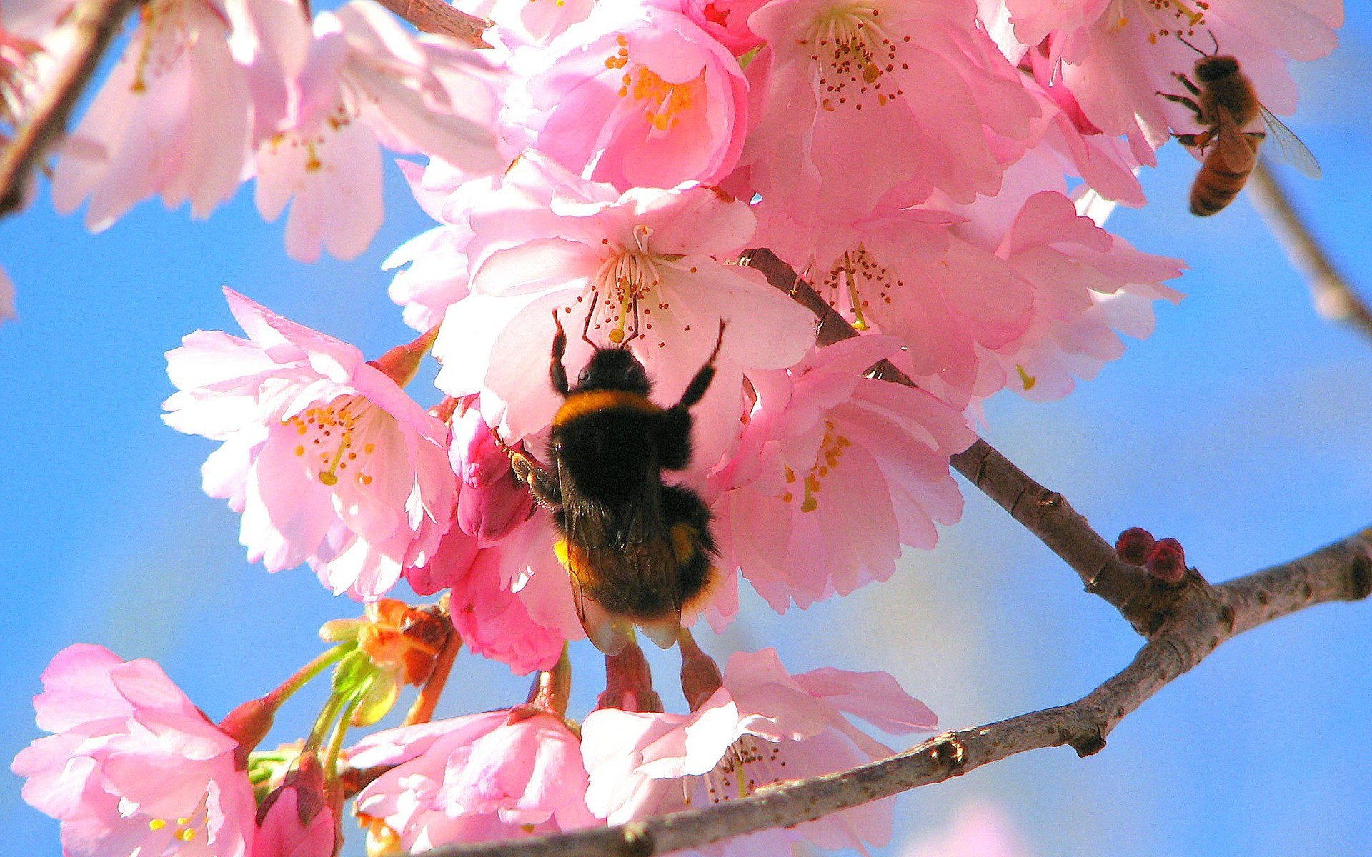 Bees in the Cherry Tree Wallpaper Spring Nature