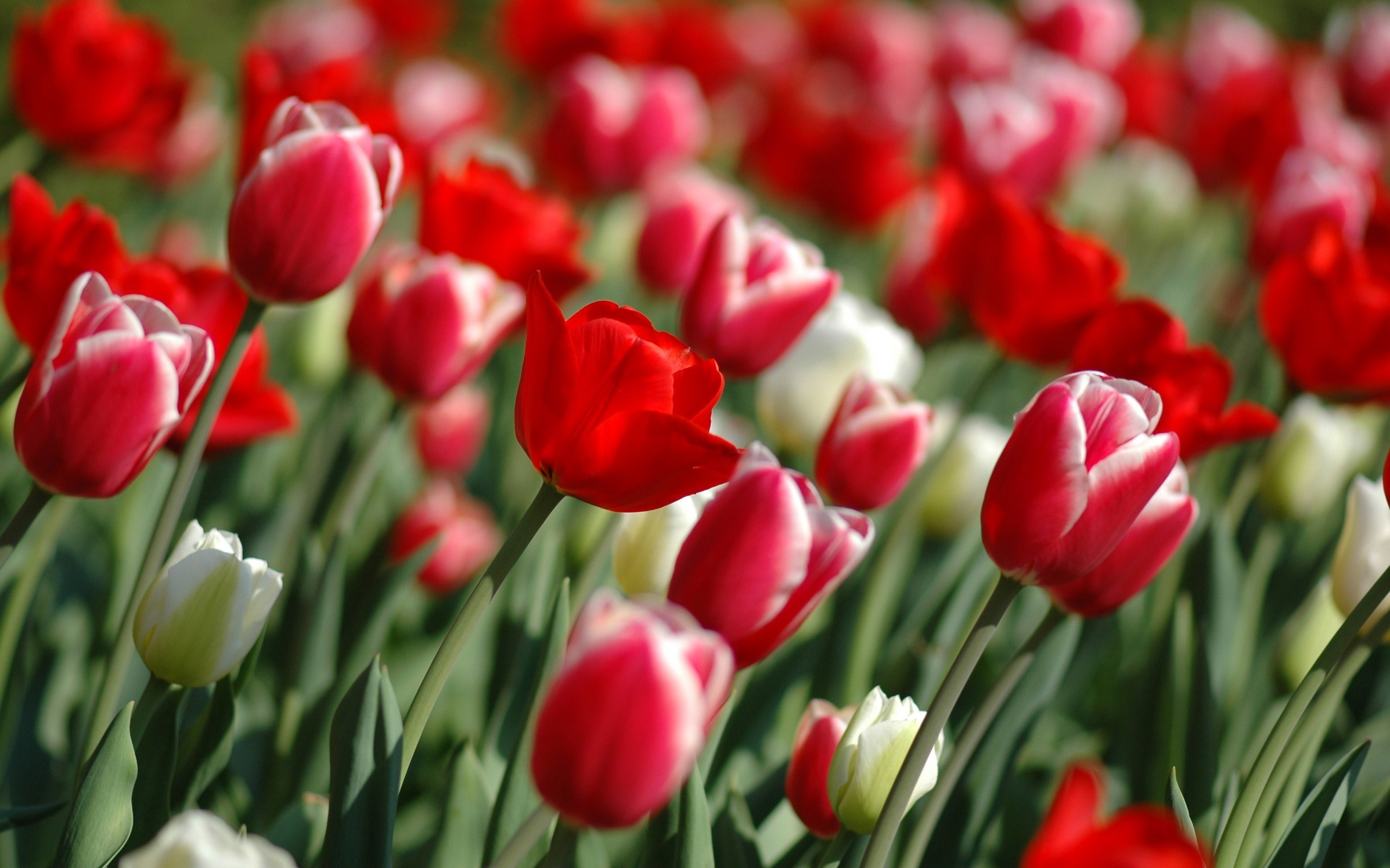 Spring Tulips Wallpaper Flowers Nature Wallpapers