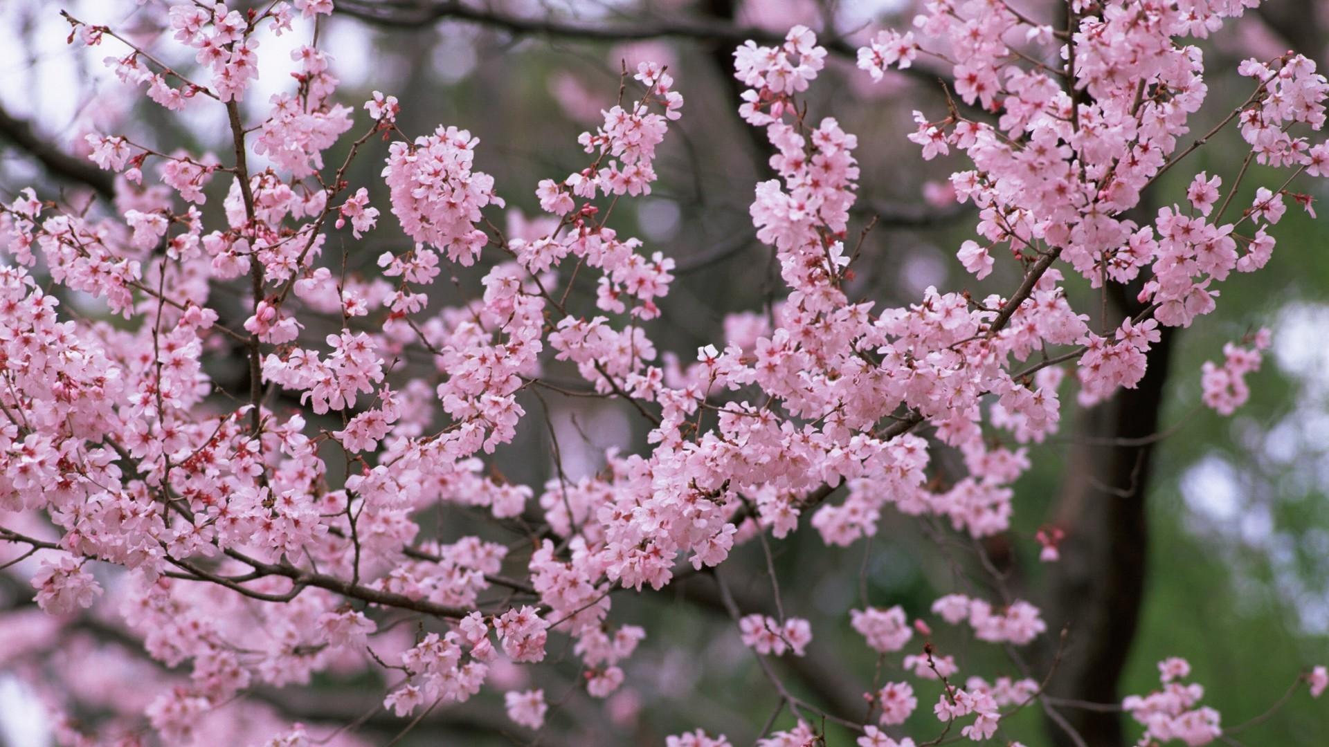 Wallpaper flower, tree, branch, spring, nature