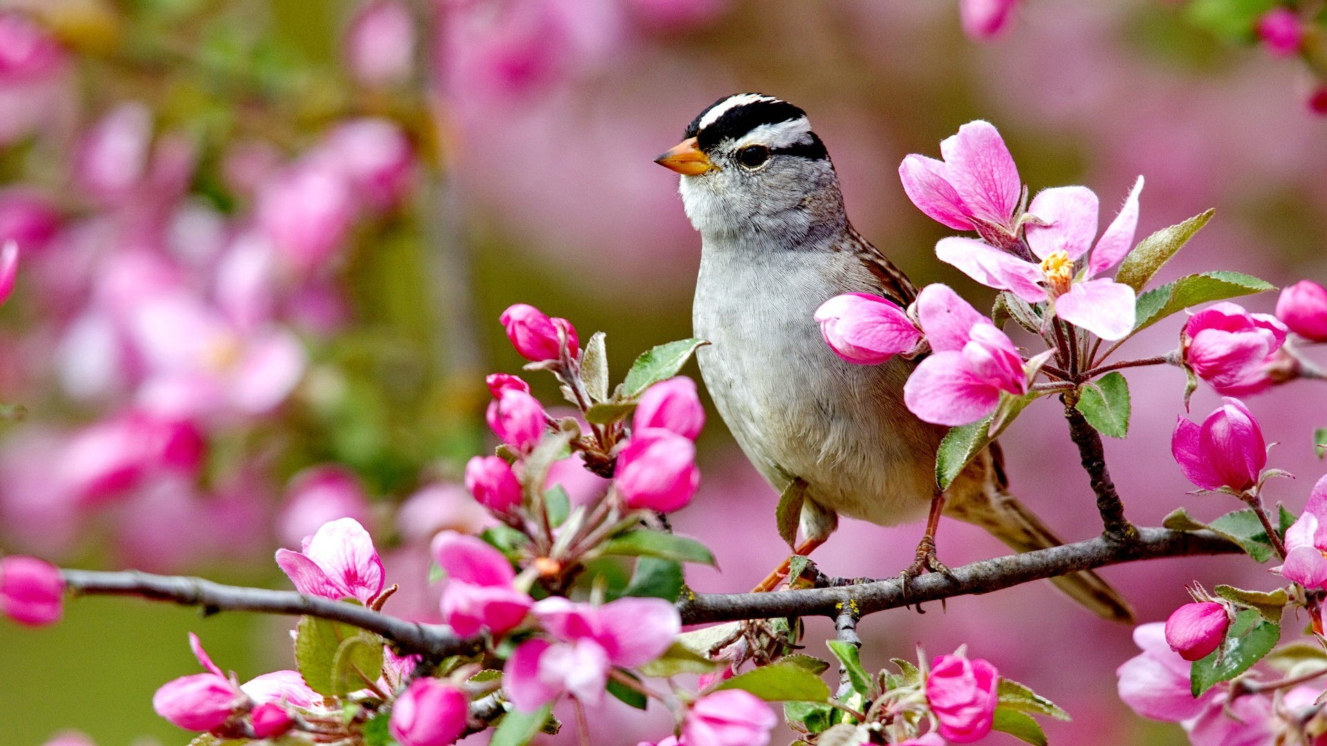 Flowers: Bird Spring Flowers Colorful Forces Nature Colors Birds Splendor  Pink Tree Buds Landscpae Lovely
