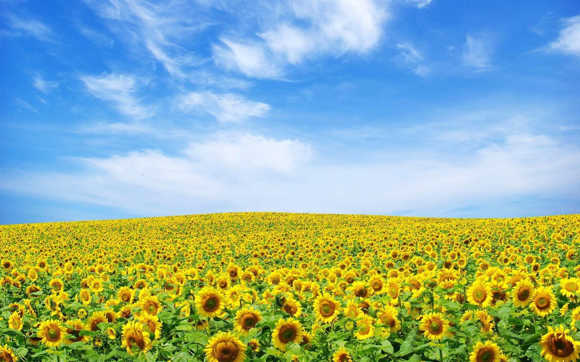Wallpaper: Sunflower Landscape HD Wallpaper 1080p. Upload at March 31 .