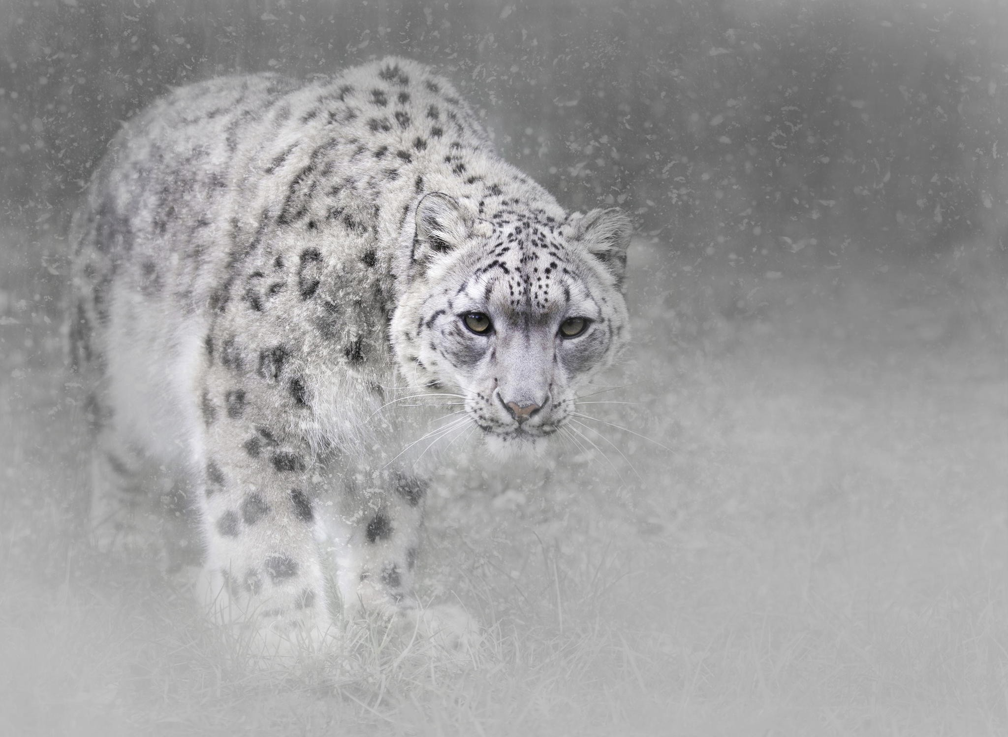 HD Wallpaper | Background ID:784070. Animal Snow Leopard