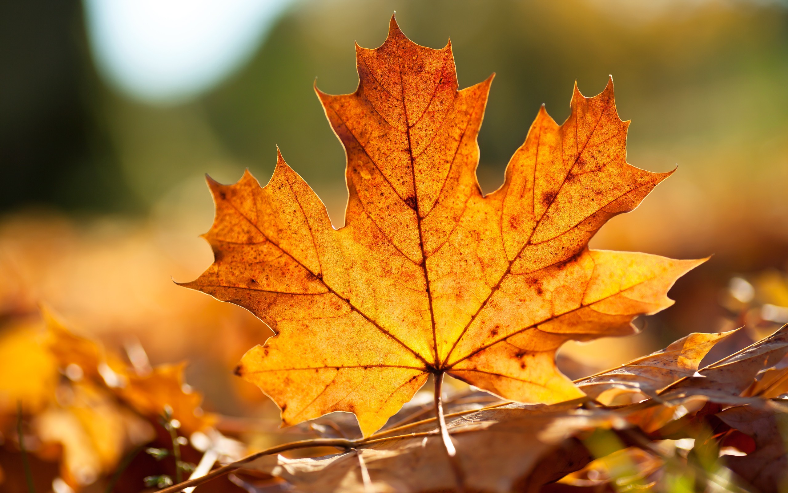 5 Best free Nature Wallpaper for Desktop – Autumn Leave for Fall Festival  Background – HD Wallpapers for Free