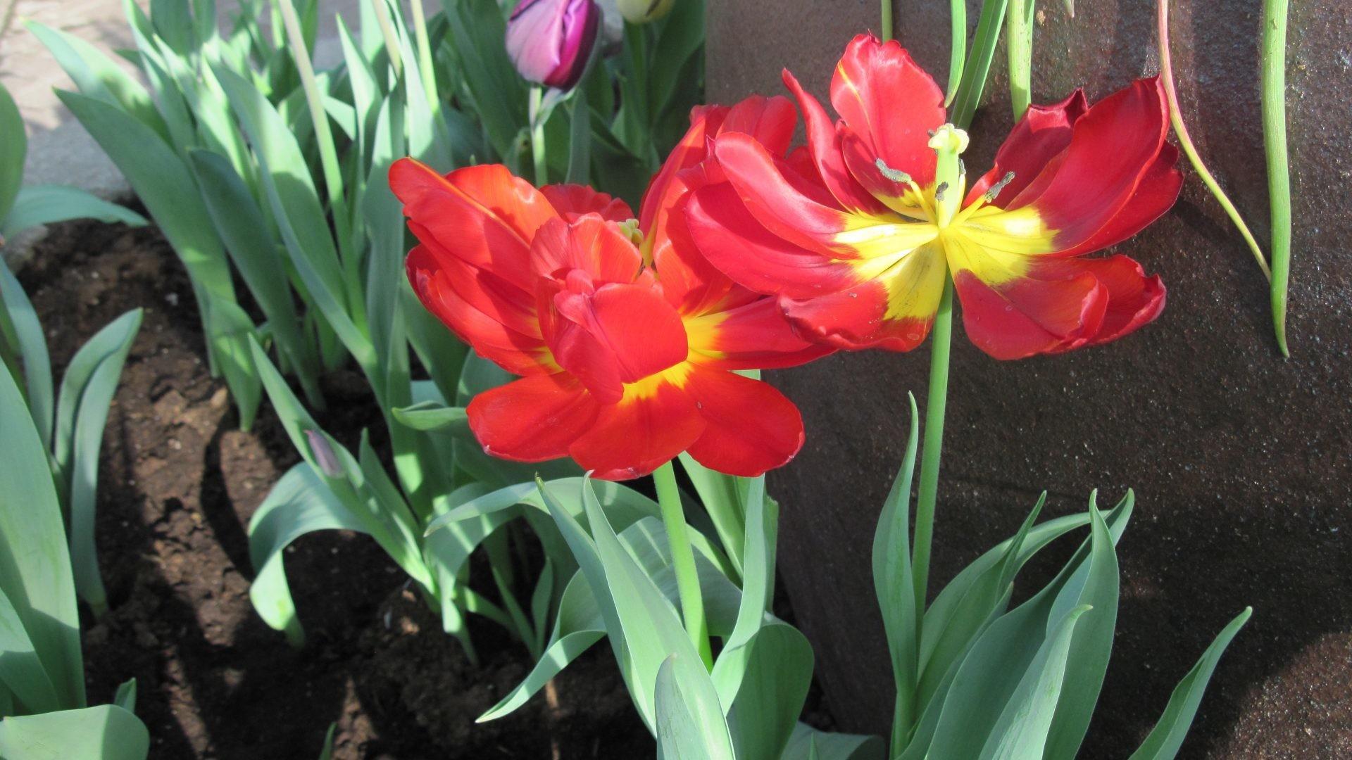 Seasonal Tag – Garden Photography Seasonal Purple Tulips Red Green Flowers  Yellow Celebrations Flower Desktop Screensavers