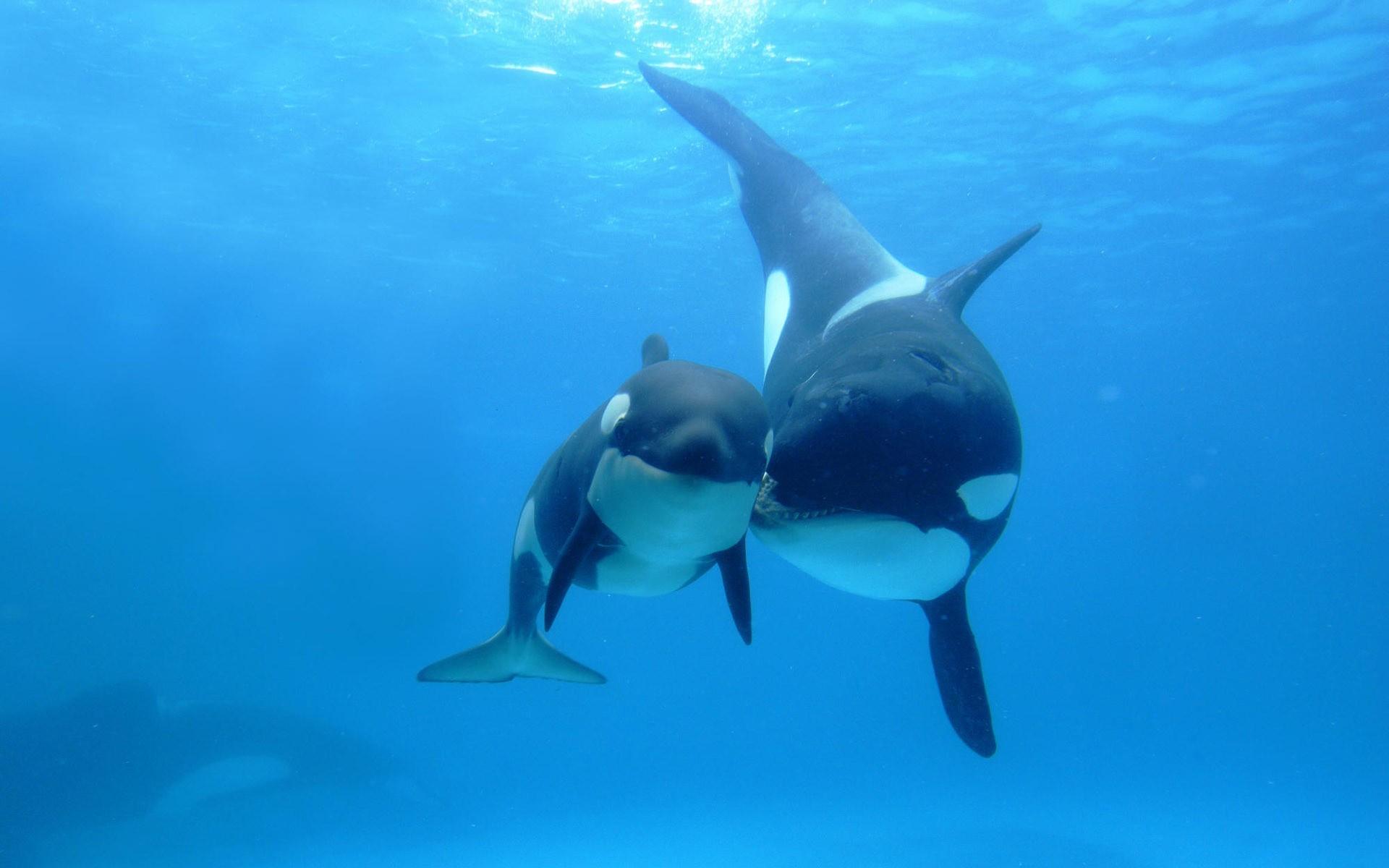 Ocean Sea Wallpaper Ocean, Sea, Animals, Fish, Whales, Orca,