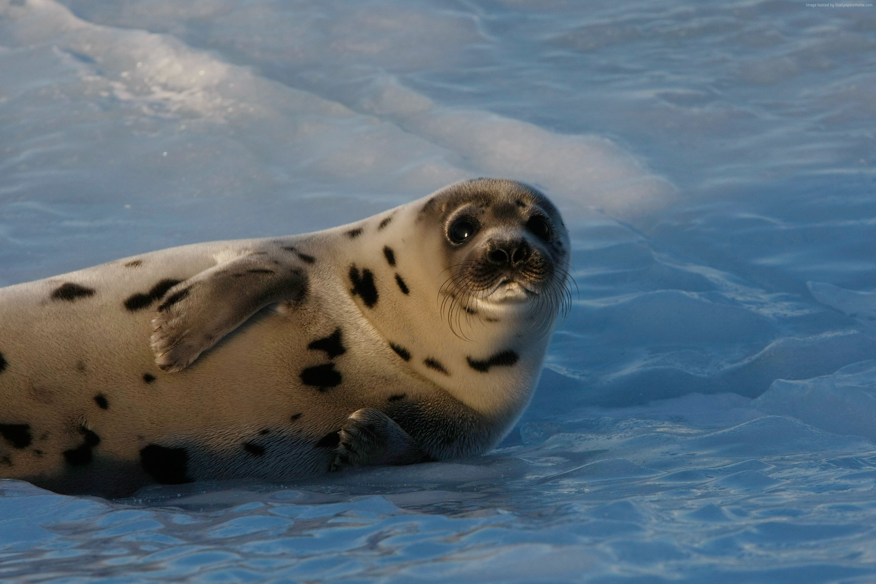 Wallpaper Seal pup, Atlantic Ocean, snow, funny, Animals #3857. Taking an  4k images, freezing a moment, reveals how rich reality truly is.