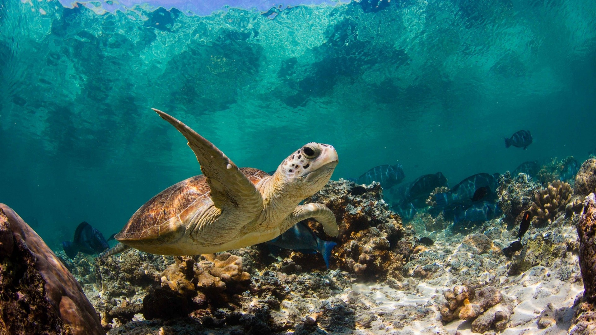 Wallpaper turtle, ocean, water, macro, fish, corals