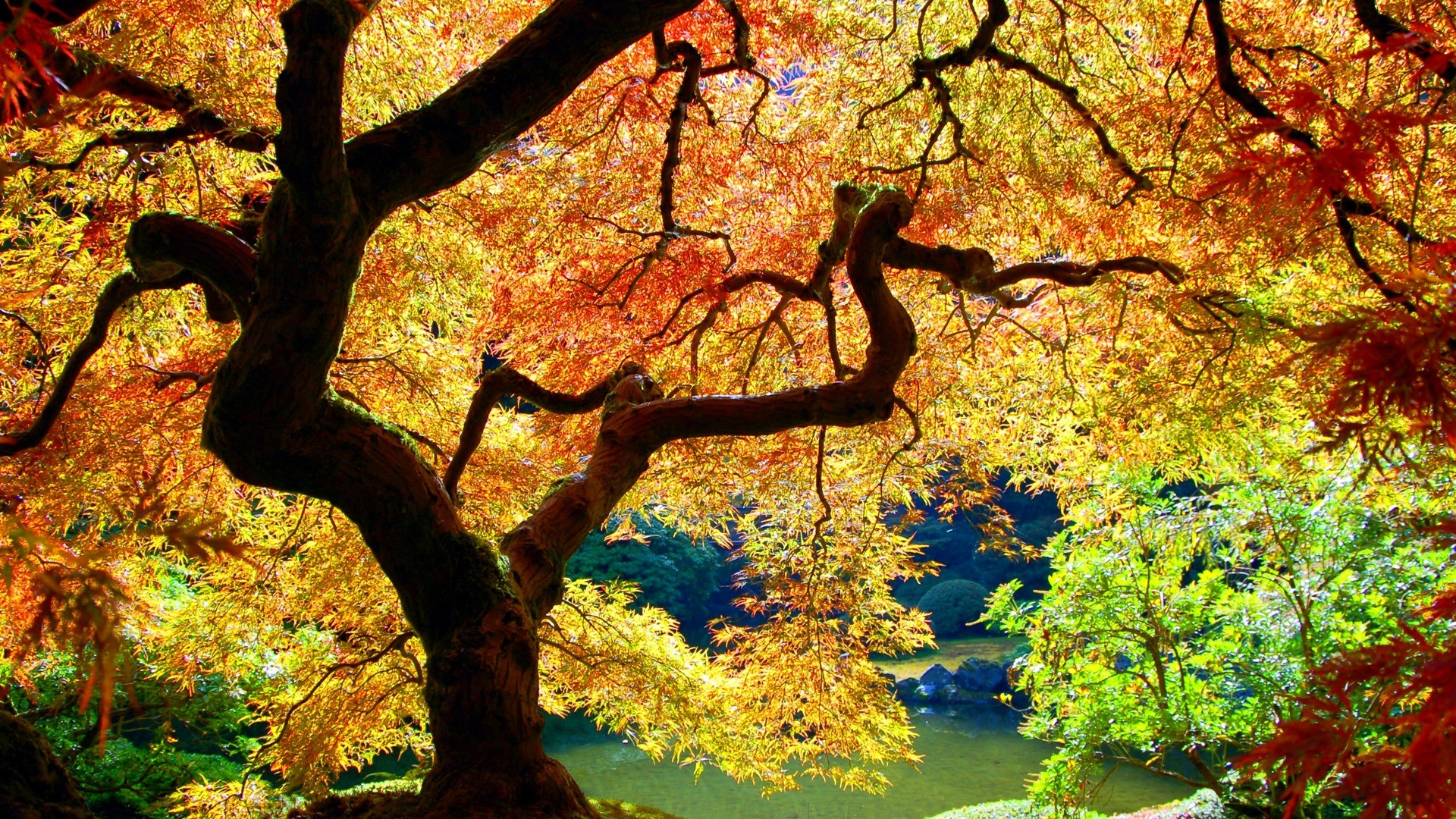 Japanese Maple Wallpaper Plants Nature Wallpapers