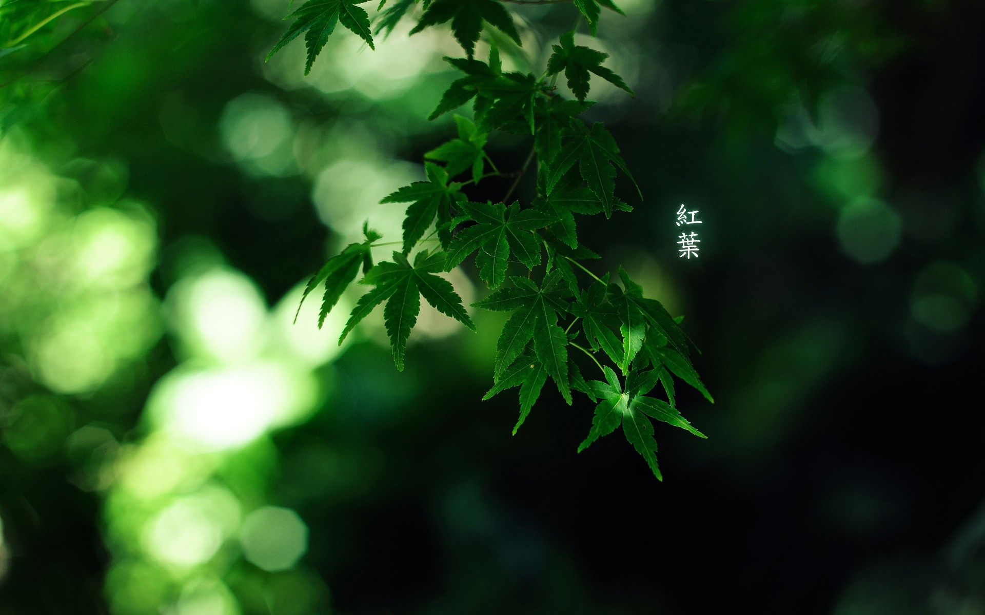 Bamboo Depth Of Field Forests Green Japan Japanese Leaves Momiji Nature  Trees