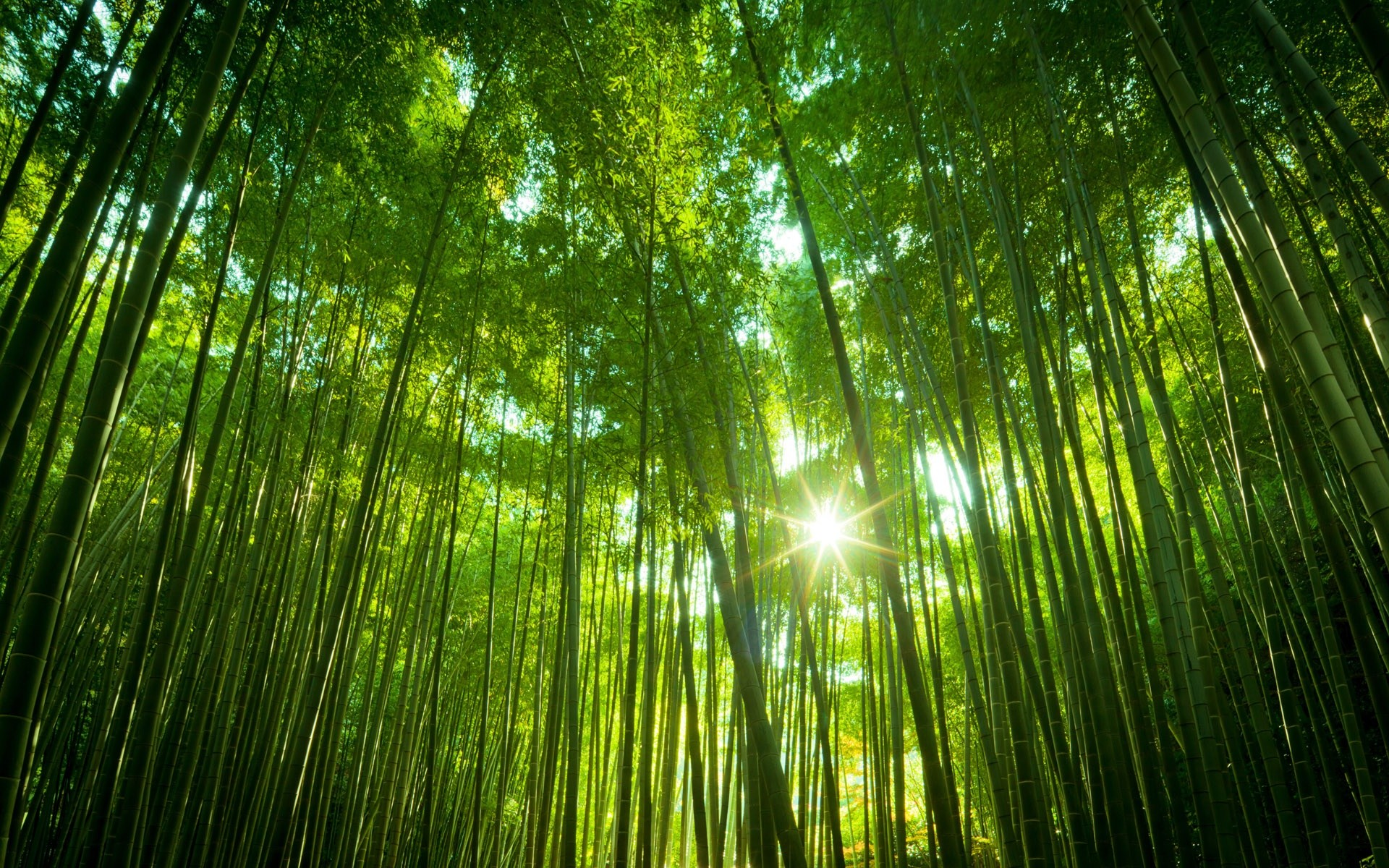 Japanese Bamboo Forest