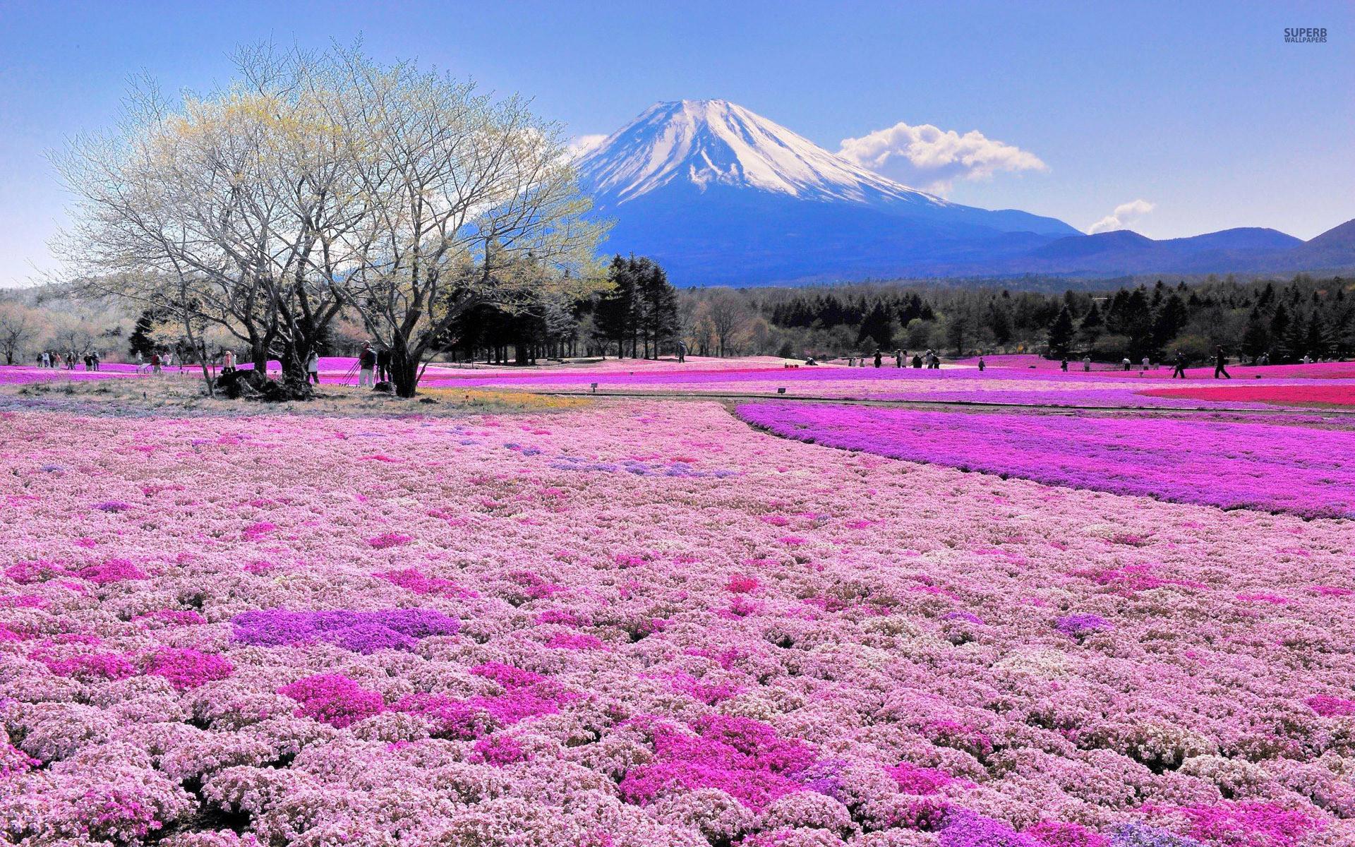 Mount Fuji wallpapers   Pink Flower Field Mount Fuji stock photos .
