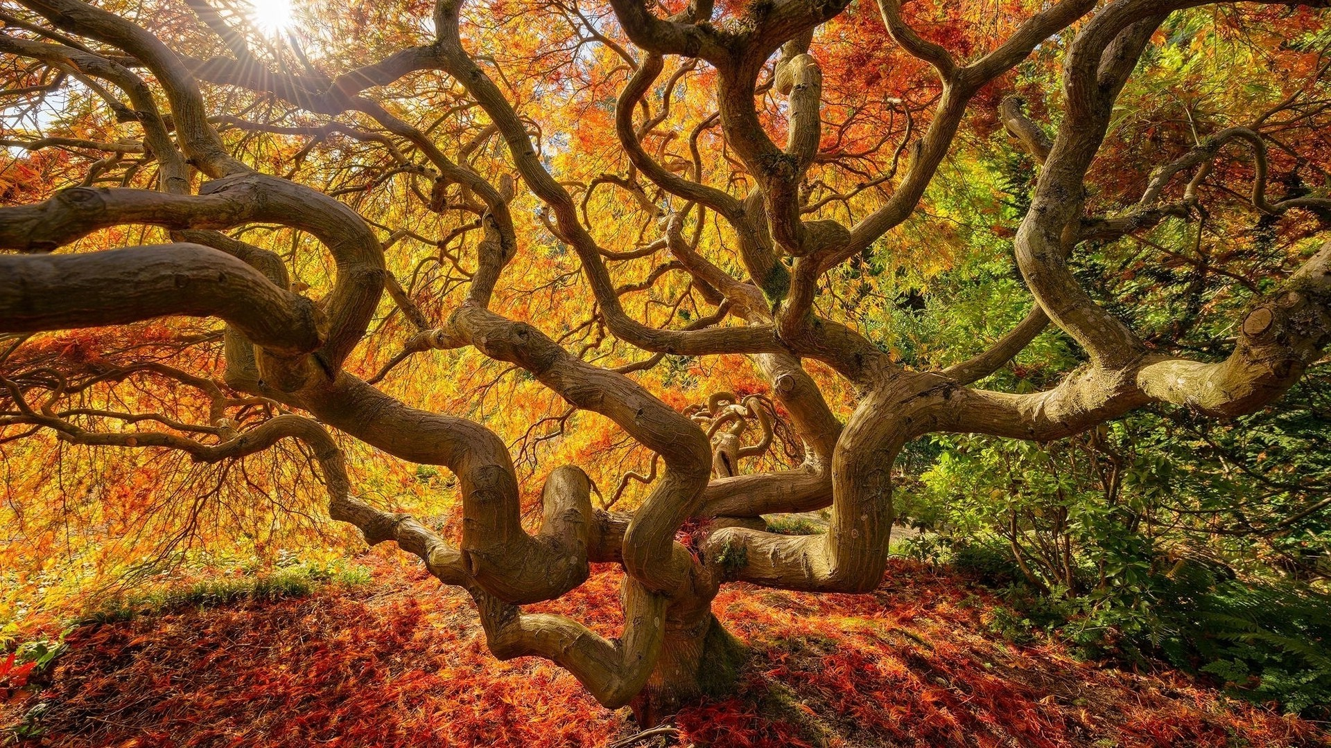 nature, Landscape, Trees, Fall, Japanese, Branch, Sun, Colorful, Leaves  Wallpapers HD / Desktop and Mobile Backgrounds