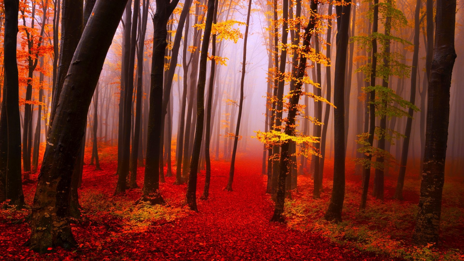 Autumn Forest Calmness Serenity Walk Path Trees Nature Fall Beautiful  Lovely Foliage Wallpaper 1080p