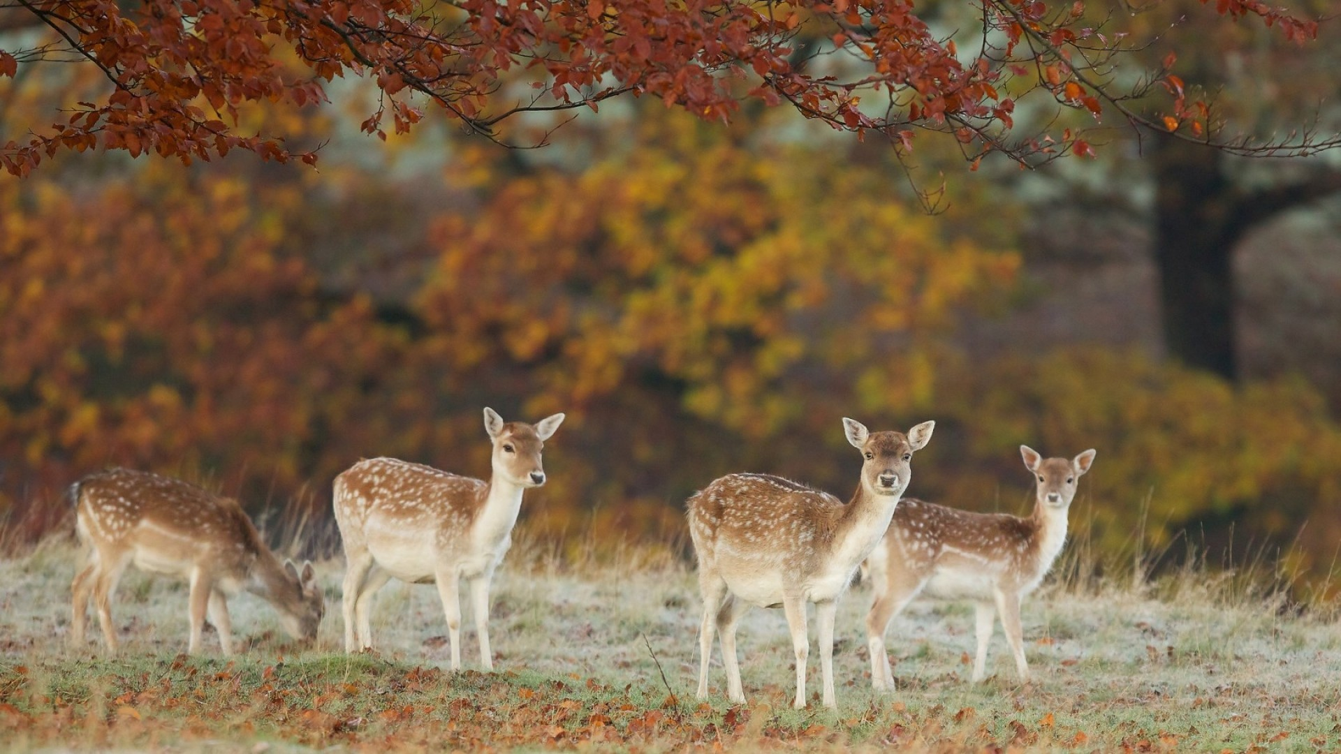 … Background Full HD 1080p. Wallpaper deer, nature, fall, leaves