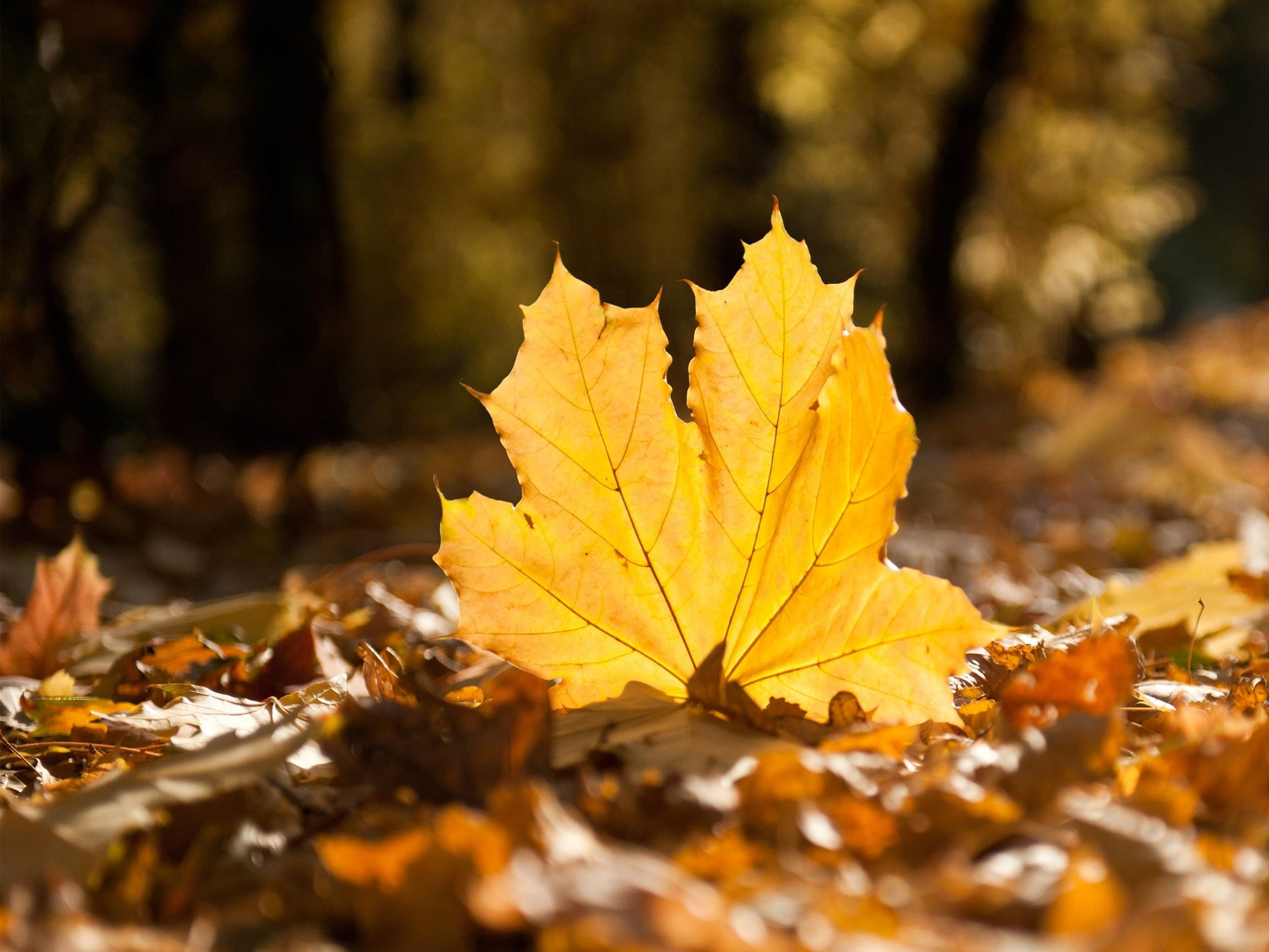 Fall Leaf HD Wallpapers – HD Wallpapers Inn