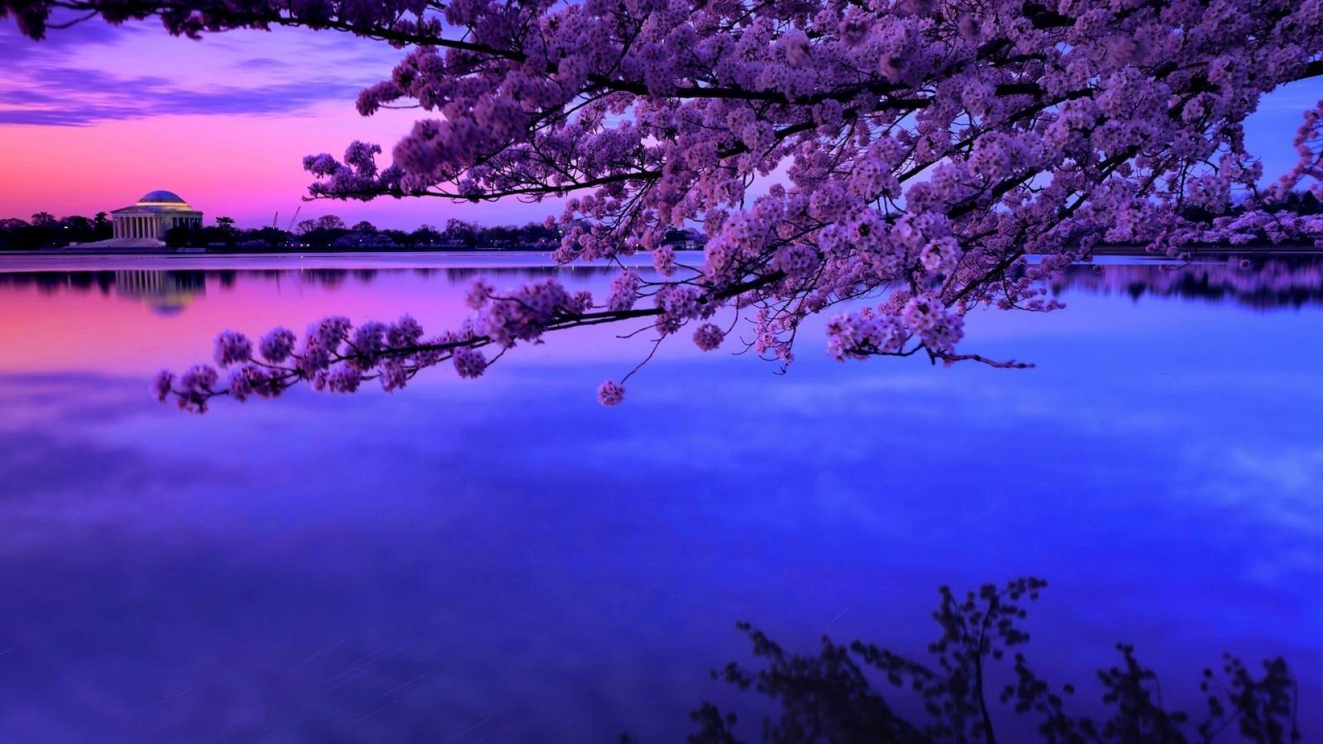 Cherry Tag – Morning Cherry Twilight Blossoms Basin Monument Tidal Blossom  Tree Mountain Lake Desktop Wallpaper