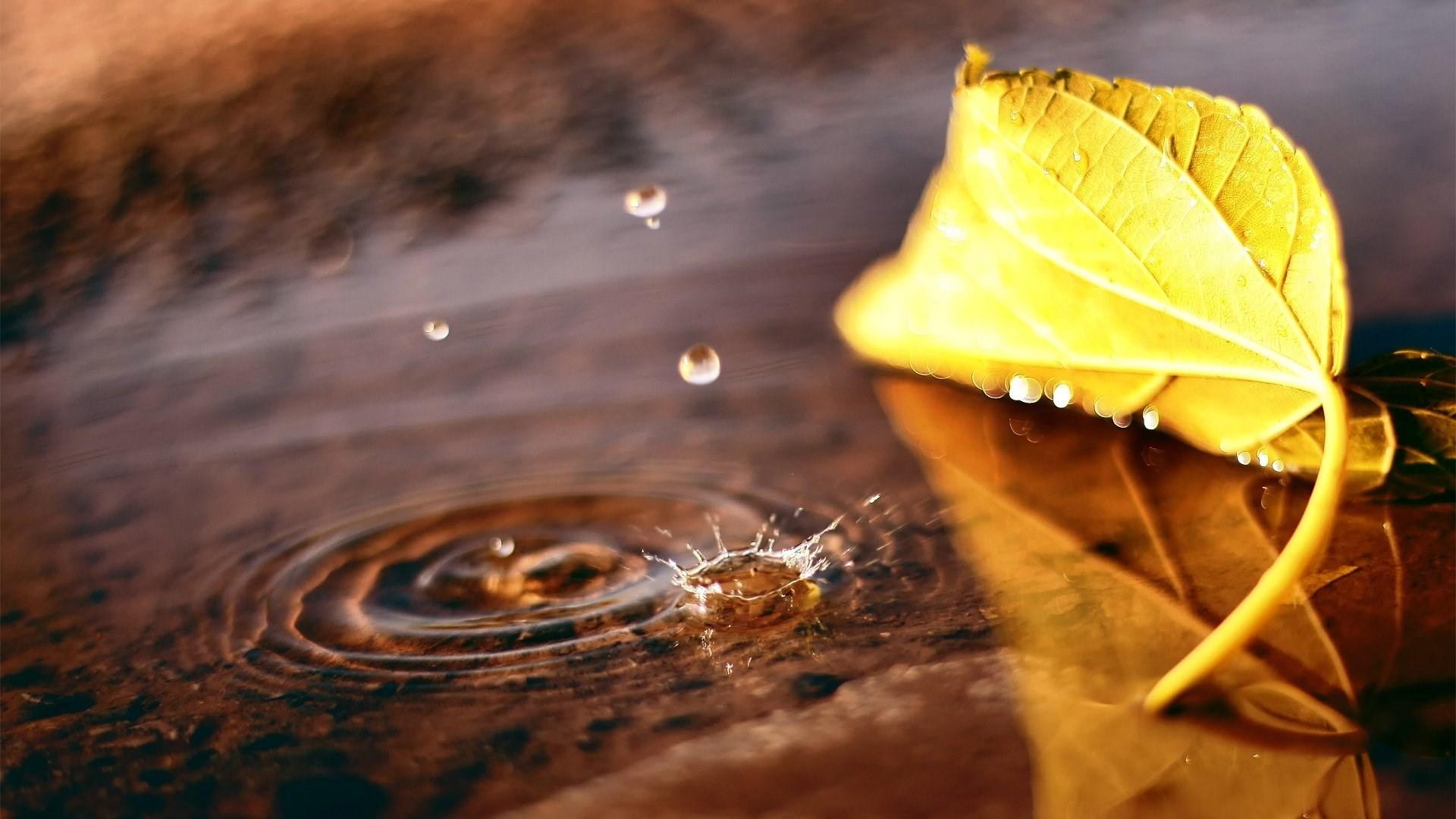 fall leaves drop water macro wallpaper computer desktop .