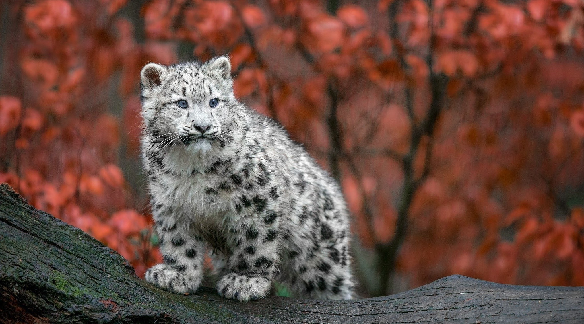 animals big cats snow leopards baby animals germany fall Wallpapers HD /  Desktop and Mobile Backgrounds