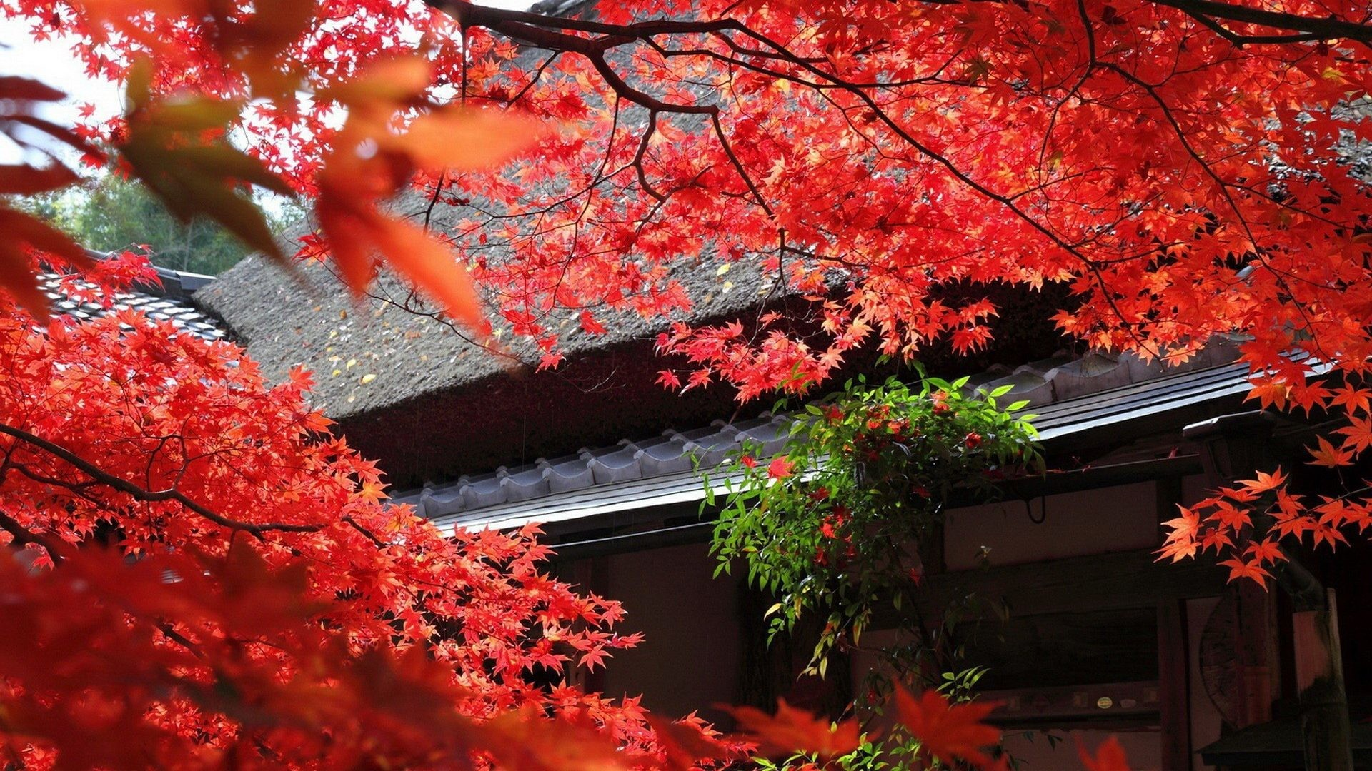 Leaves – Leaves Autumn Red Japan Tree Nice Nature Picture World for HD 16:9