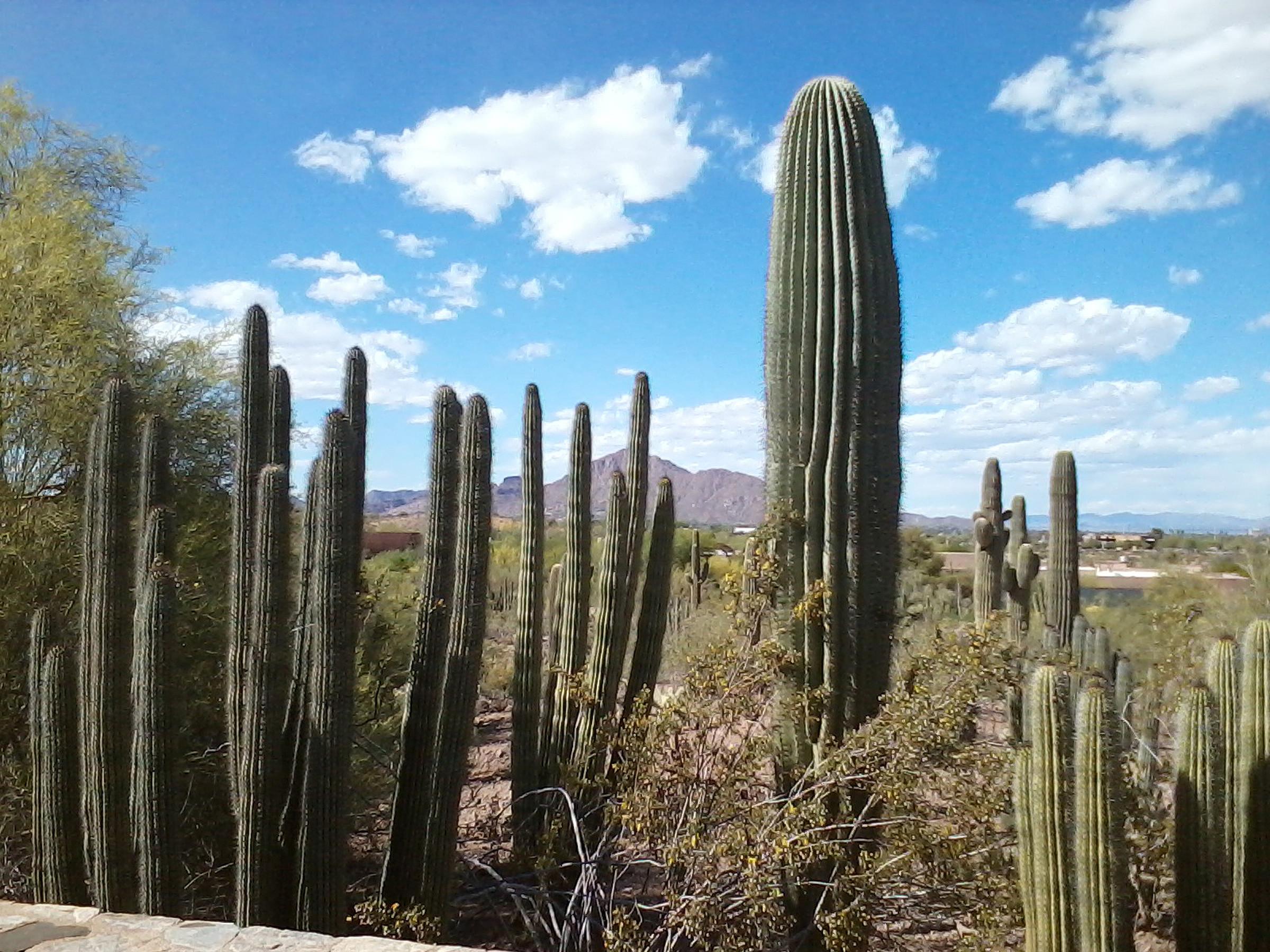 Earth – Desert Arizona Cactus Wallpaper