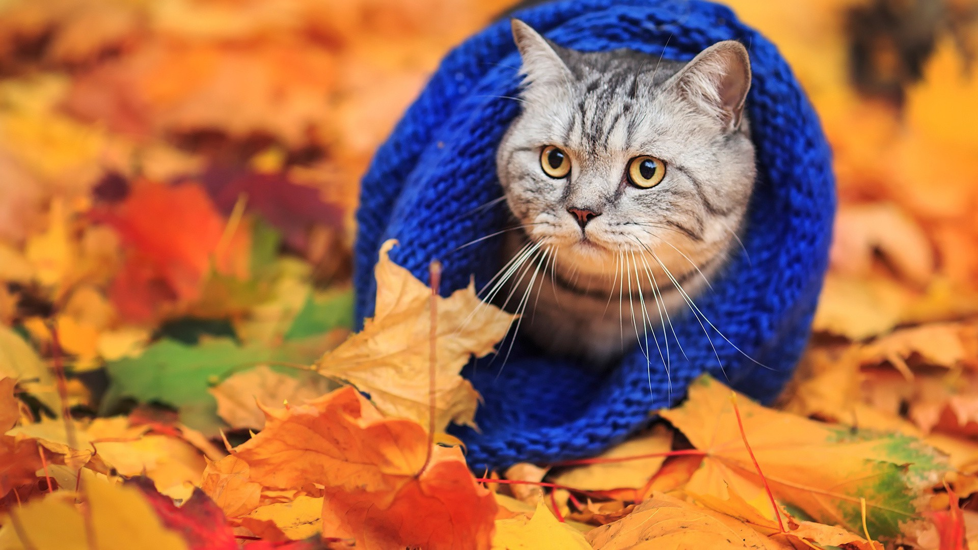 animals, Cat, Woolly Hat, Leaves, Fall Wallpapers HD / Desktop and Mobile  Backgrounds