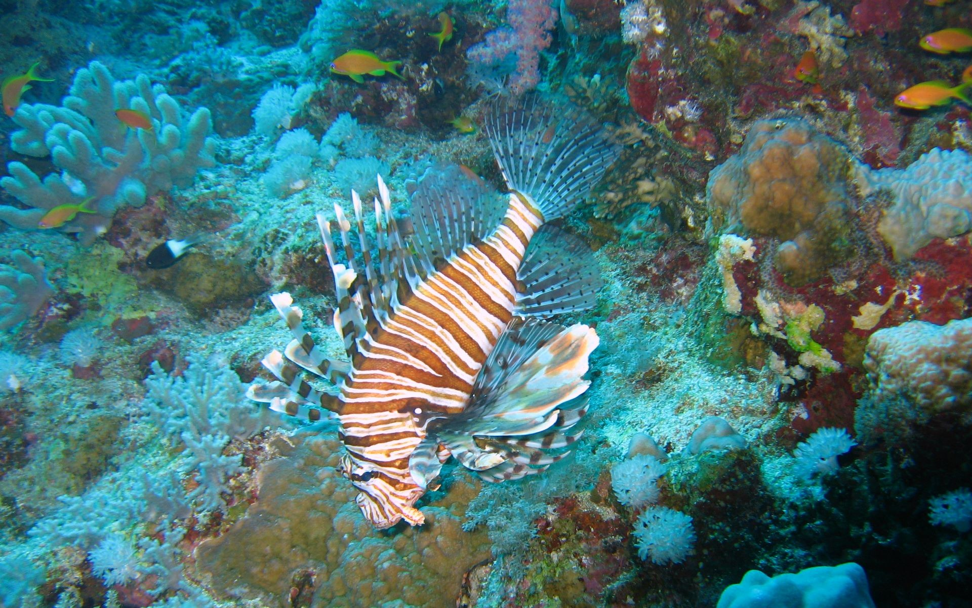 lion fish wallpaper