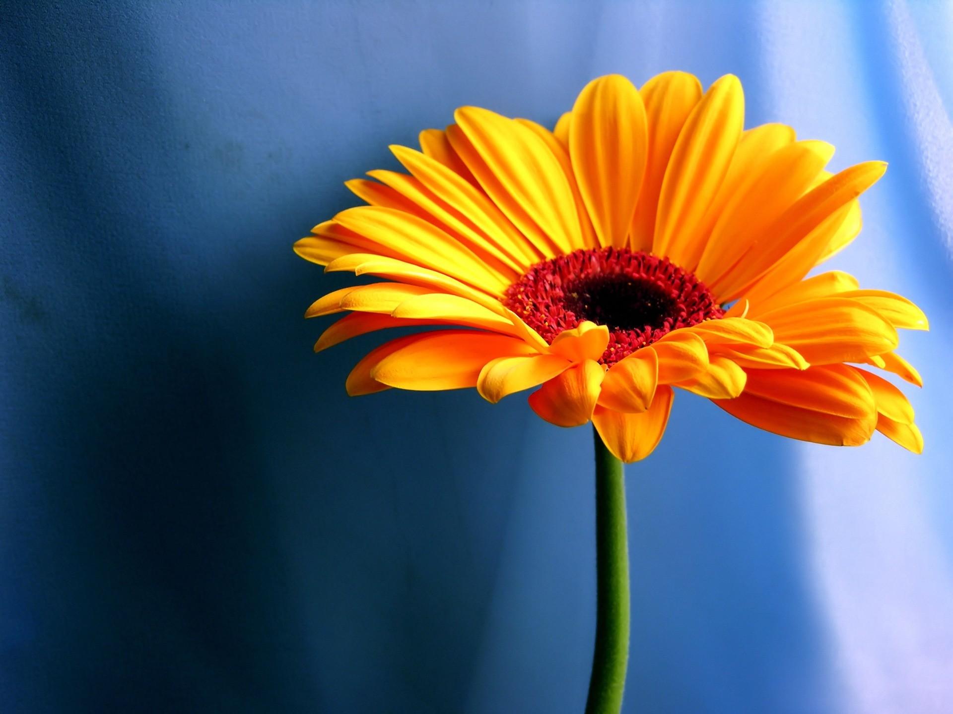 Orange Flower Wallpaper Flowers Nature
