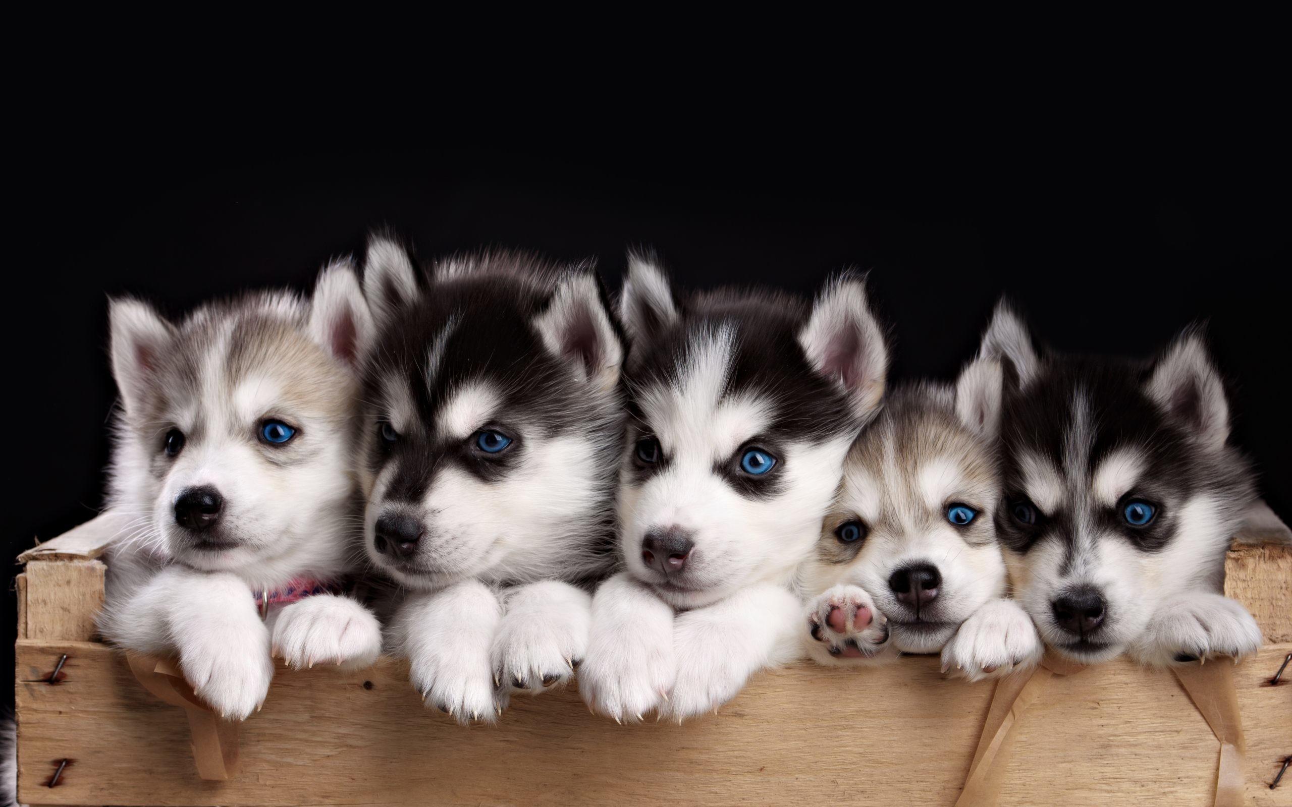 Husky Puppies Wallpaper HD For Desktop Of Miniature Husky