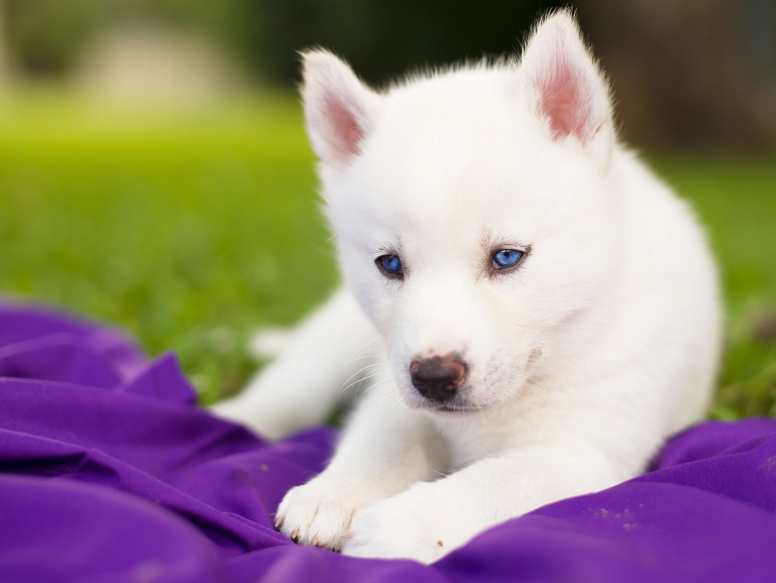 undefined Baby Animal Pictures Wallpapers (48 Wallpapers)   Adorable  Wallpapers   Wallpapers   Pinterest   Baby animals, White husky and Baby  huskies