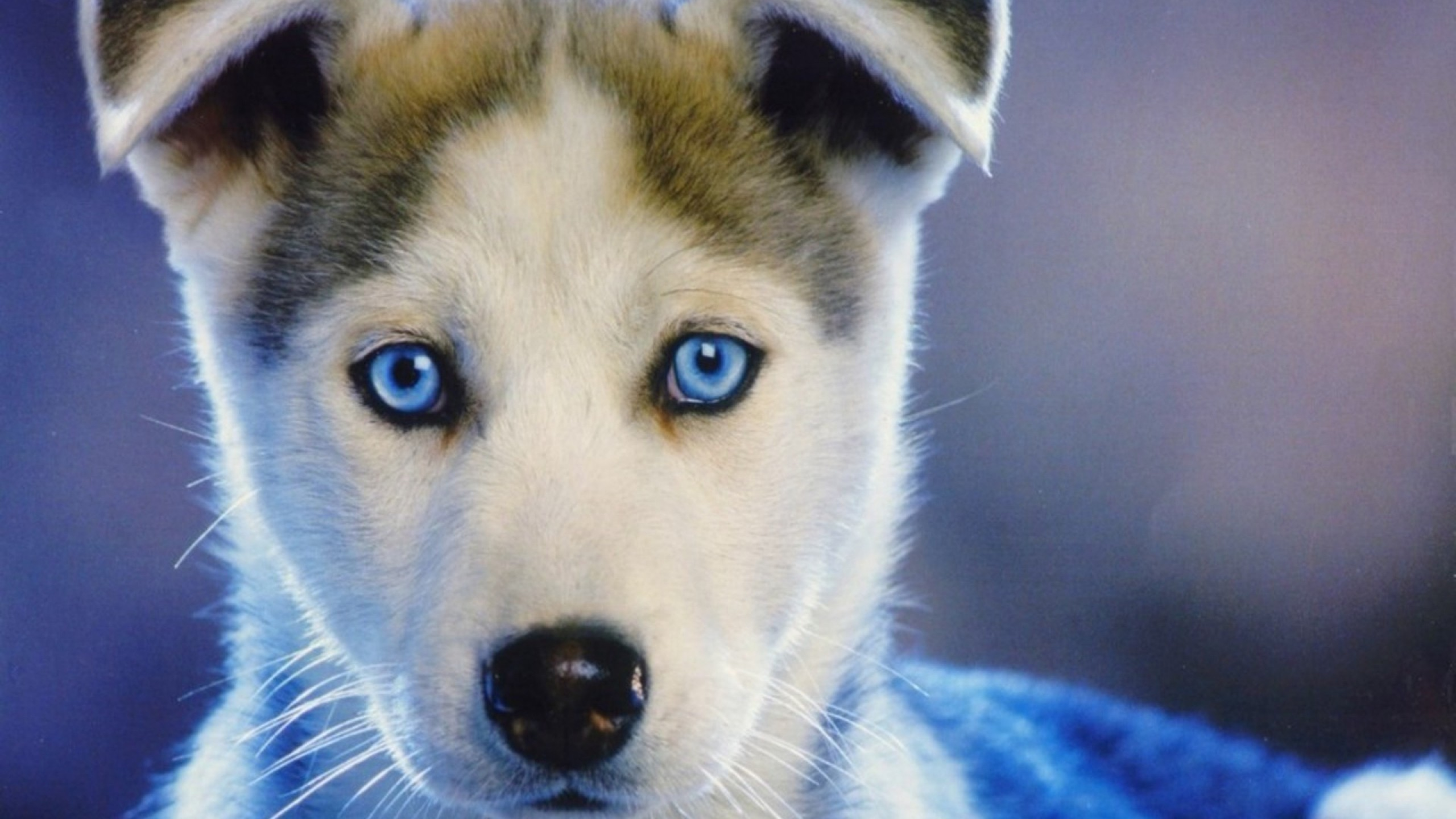 Preview wallpaper husky, puppy, blue-eyed, baby 2560×1440