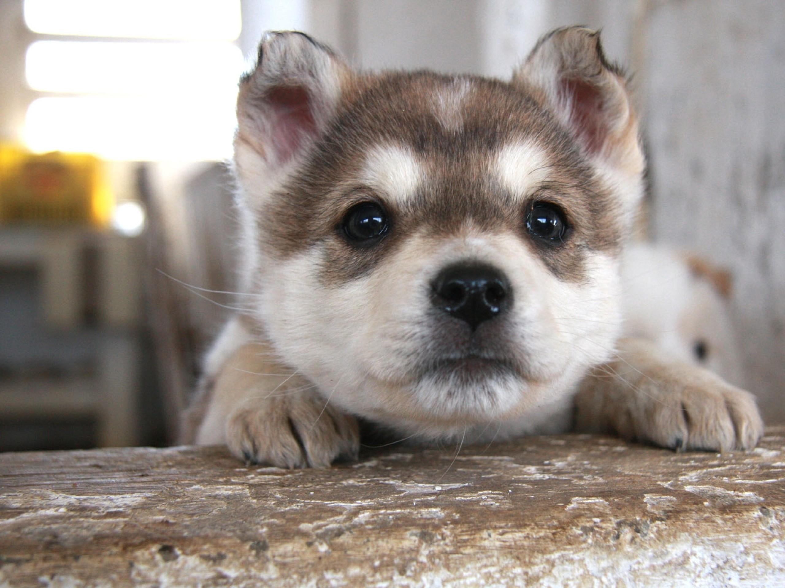Animal – Siberian Husky Wallpaper
