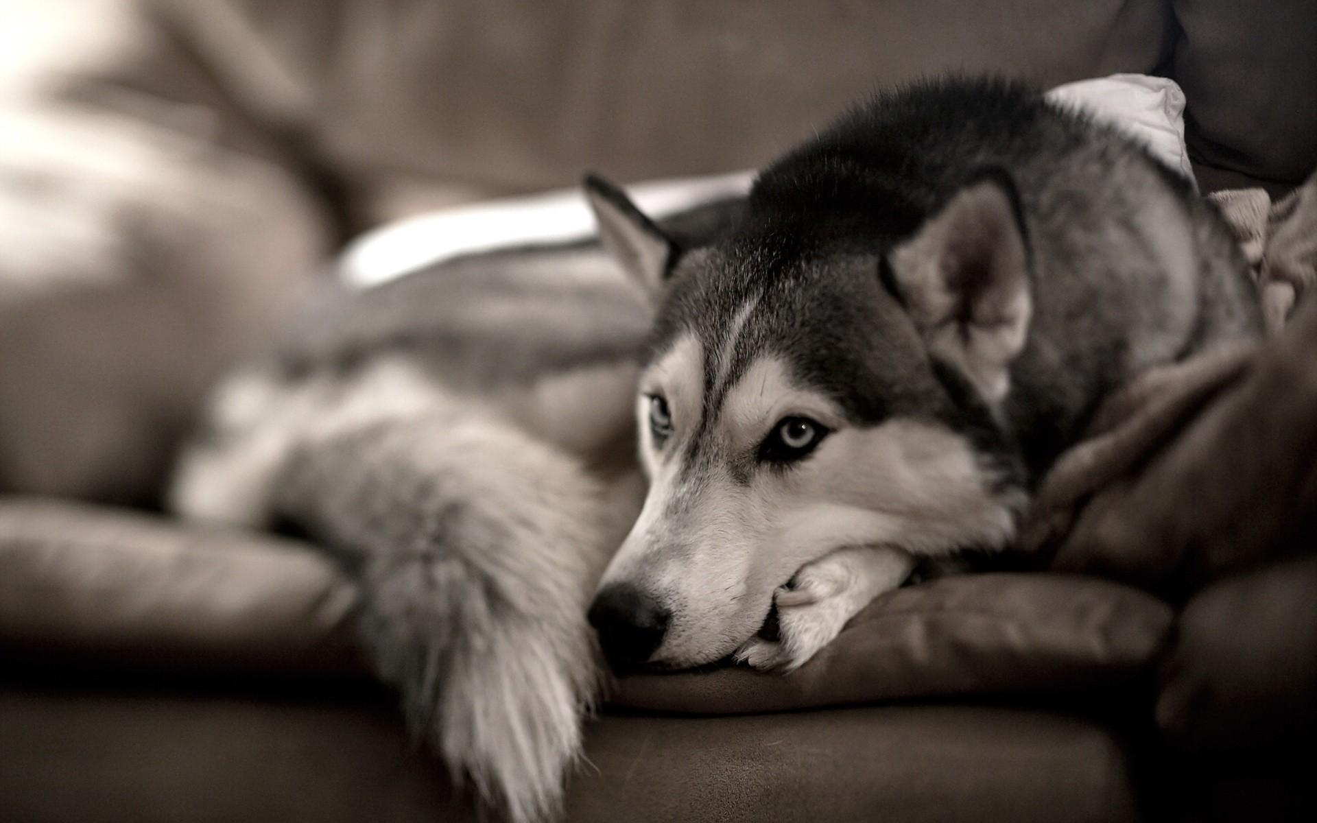 Siberian Husky Photo Wallpaper