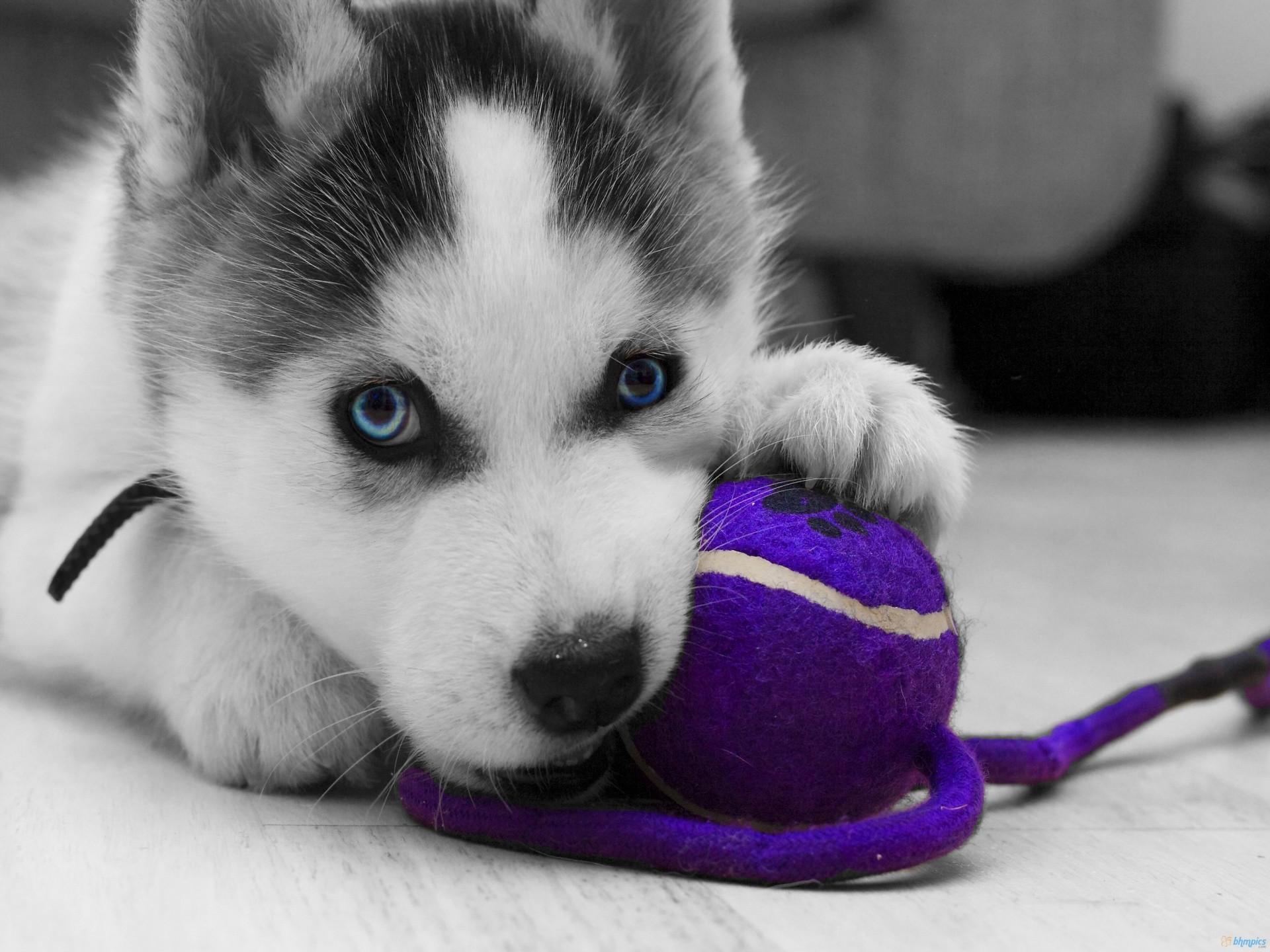 Siberian Husky Newborn Puppies