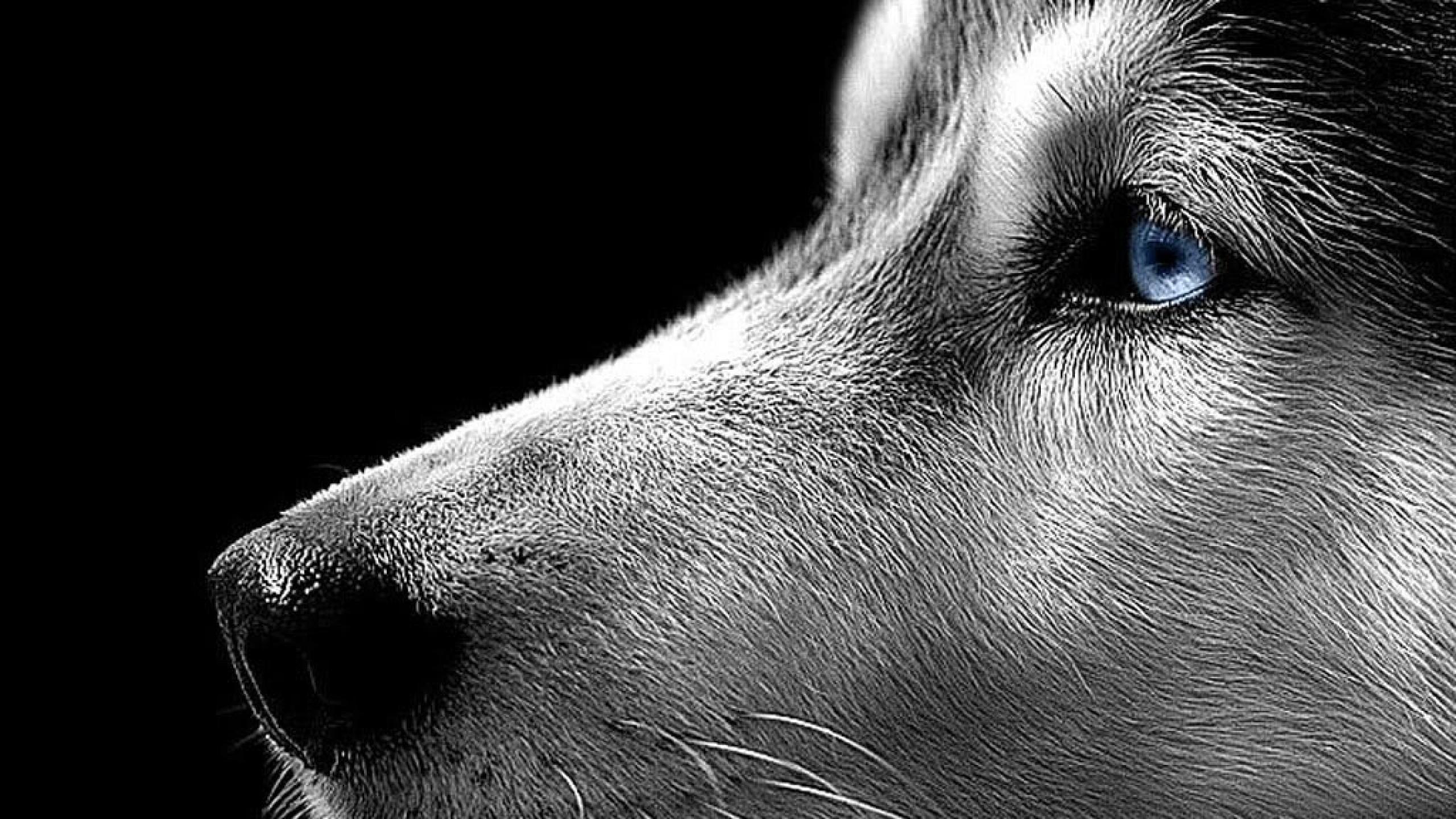 wallpaper details file name siberian husky wallpaper free download .