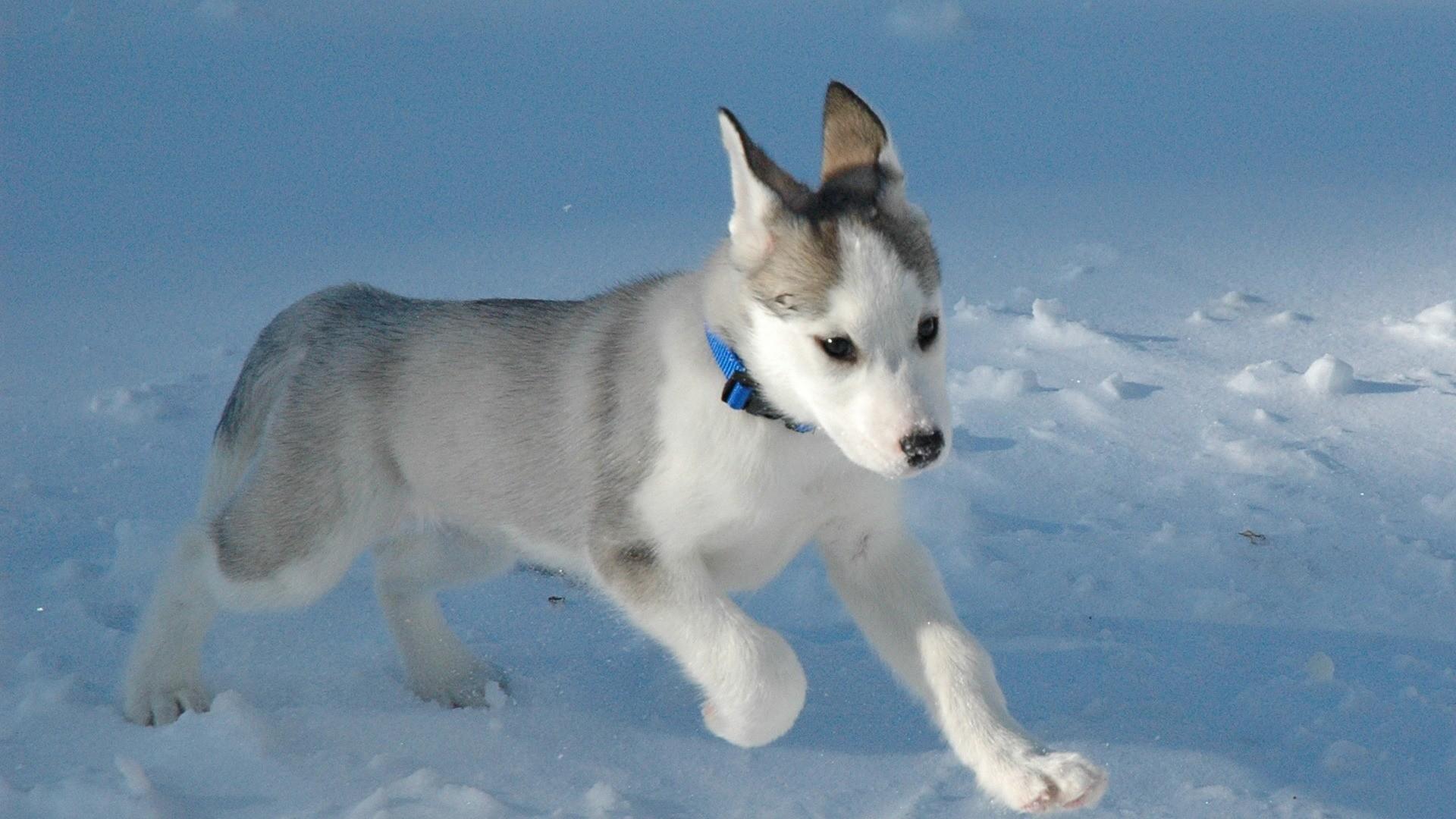 Husky Wallpaper Dogs Animals Wallpapers