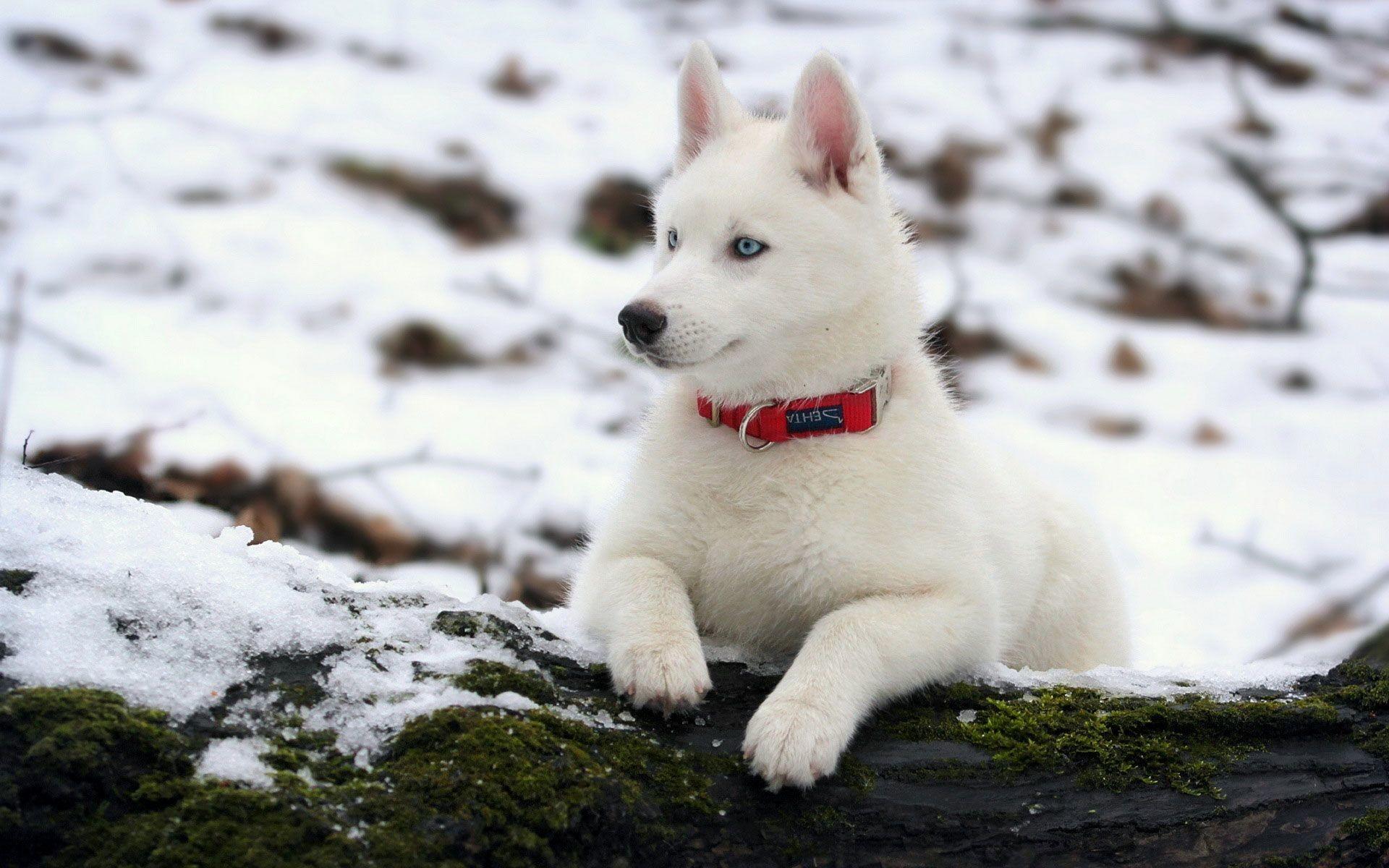 Beautiful White Siberian Husky Wallpaper Deskt #6594 Wallpaper .
