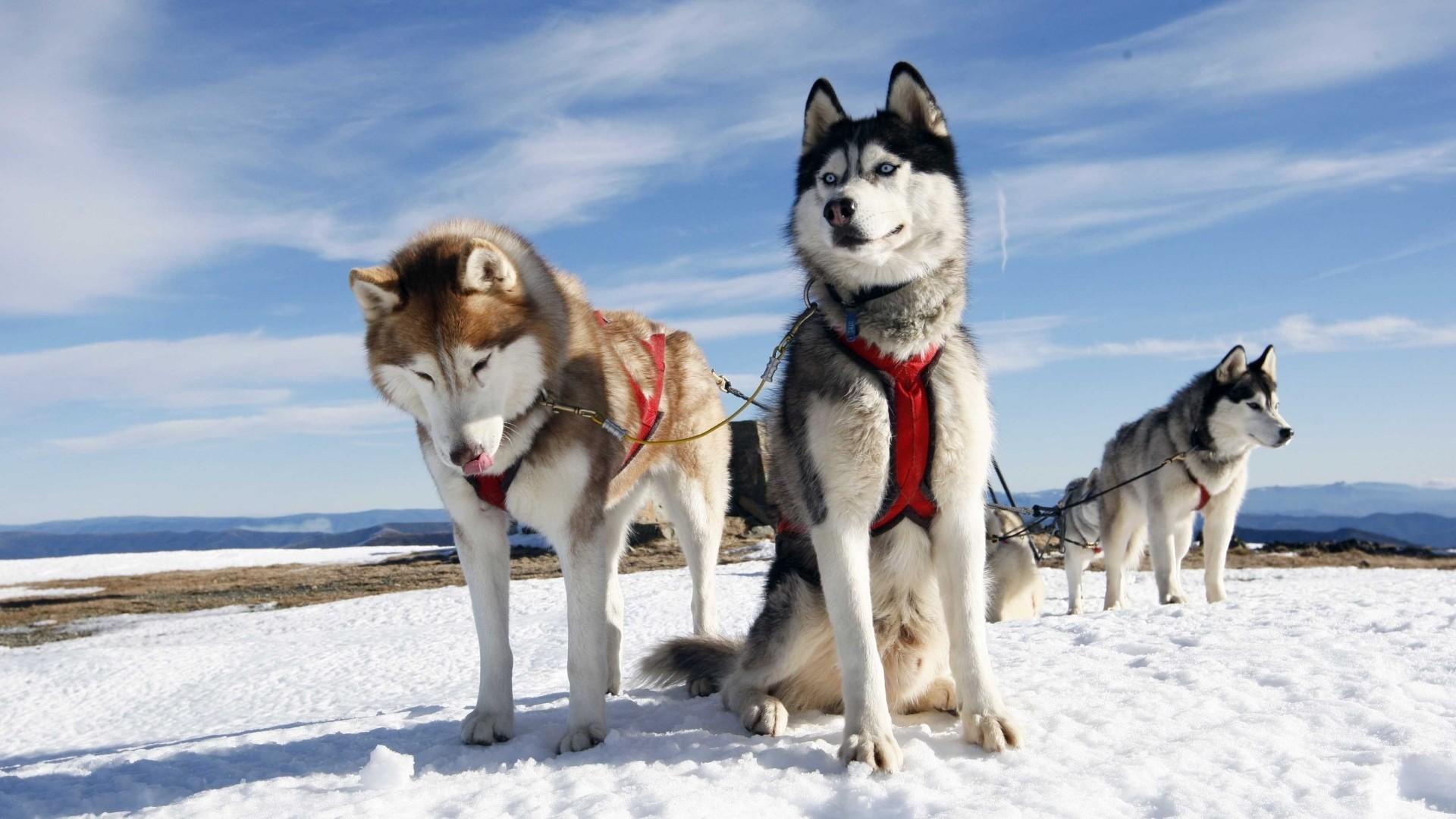 Preview wallpaper husky, couple, dogs, snow, alaska 1920×1080