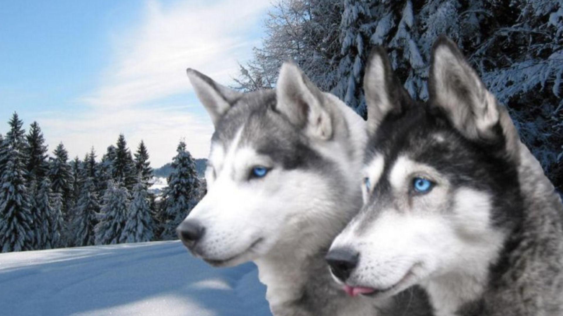 Beautiful Siberian Huskies Beautiful Black And White Blue Eyes Grey And  White Huskies Siberian Husky Snow