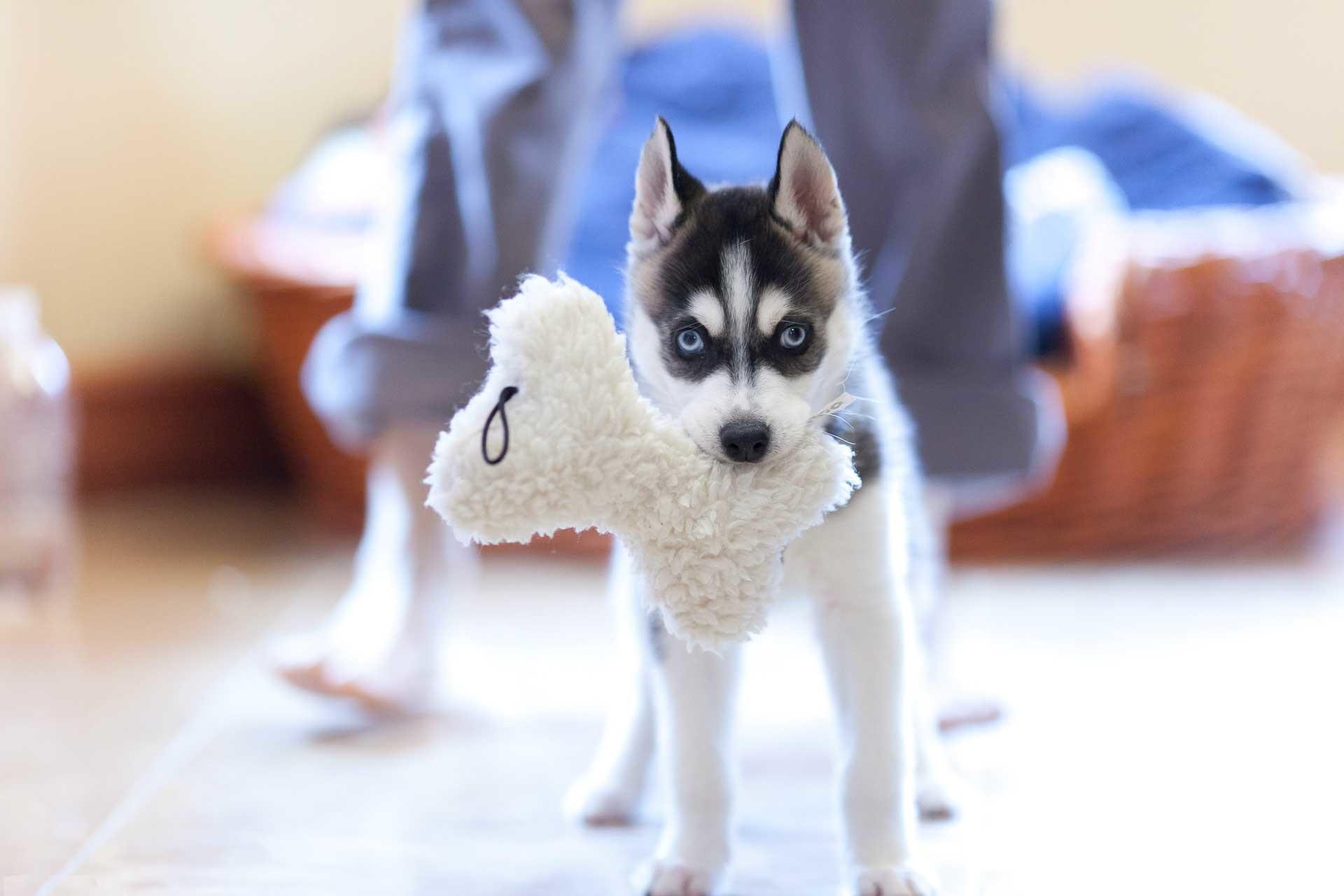 Cute Husky Puppies Background Wallpaper