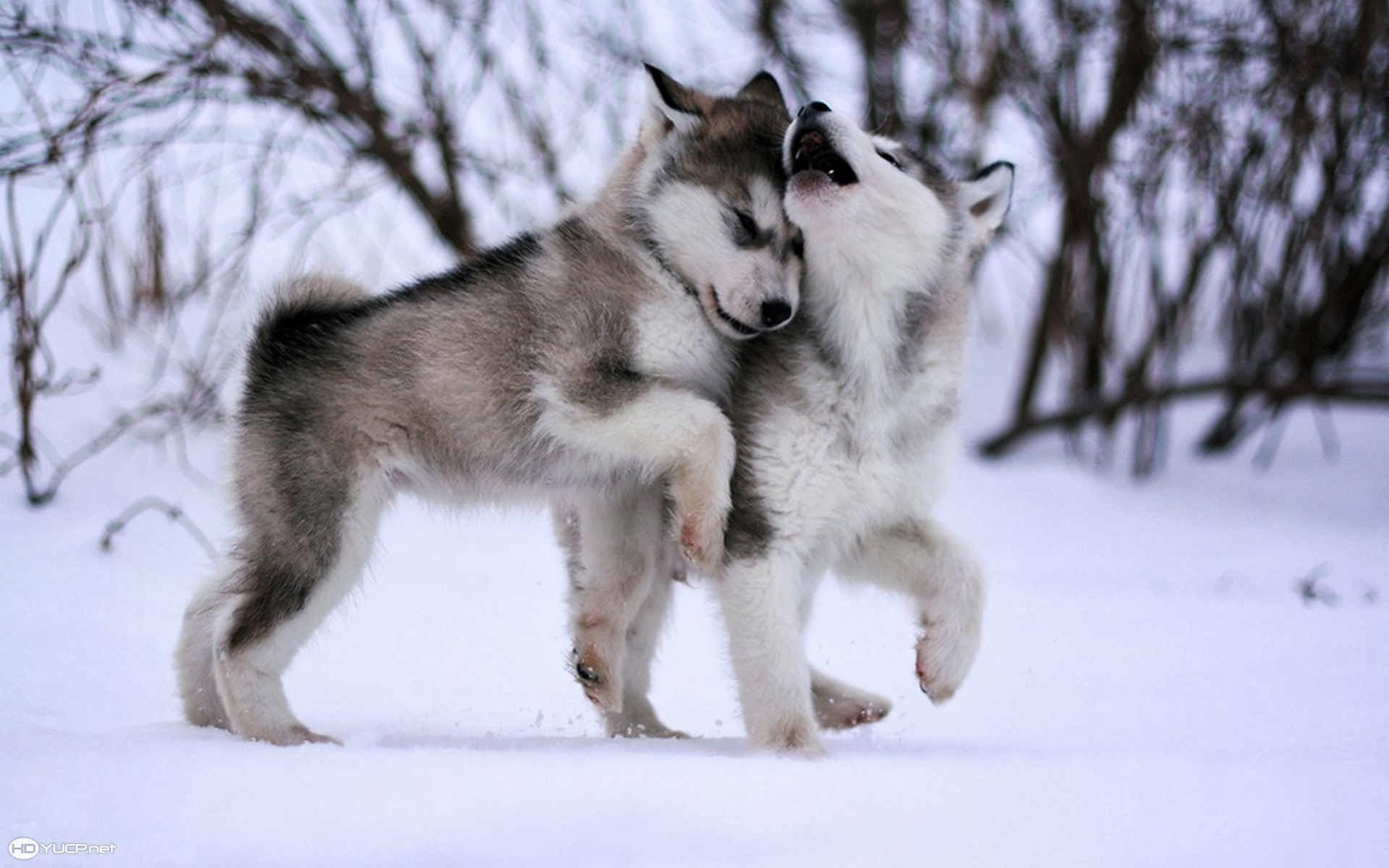 Alaskan Malamute Puppies Dogs Cute HD Wallpaper For Desktop