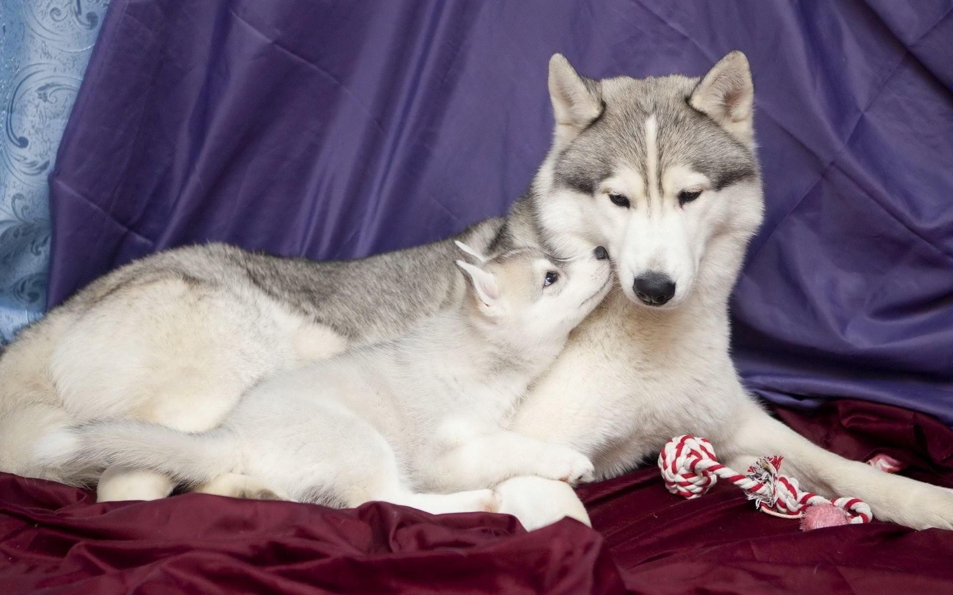 Mom And Baby Husky