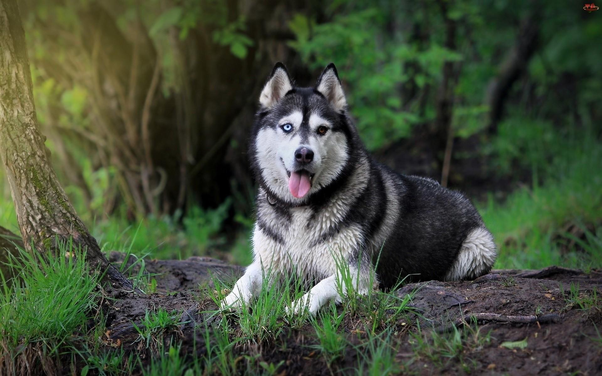 Siberian Husky Dog Wallpaper HD   ImageBank.biz