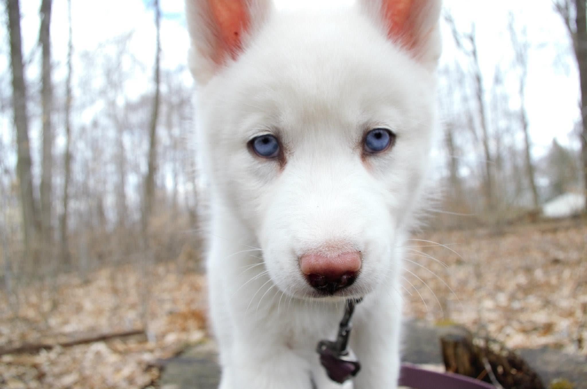 White Siberian Husky Puppy Staring At Camera