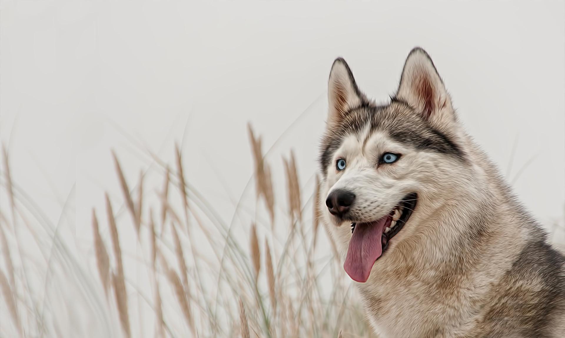 siberian husky blue eyes wallpaper background