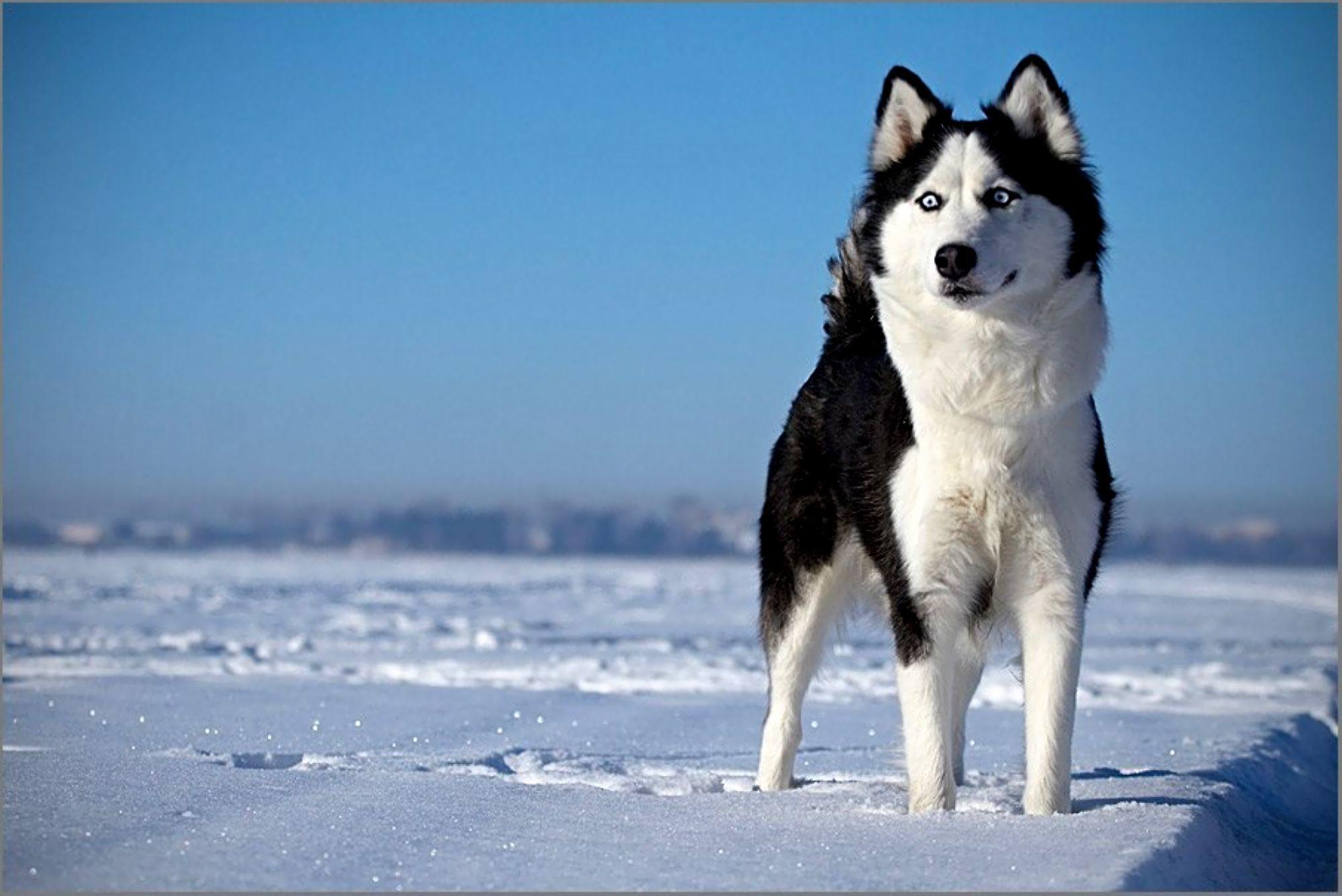 Siberian Husky Wallpaper