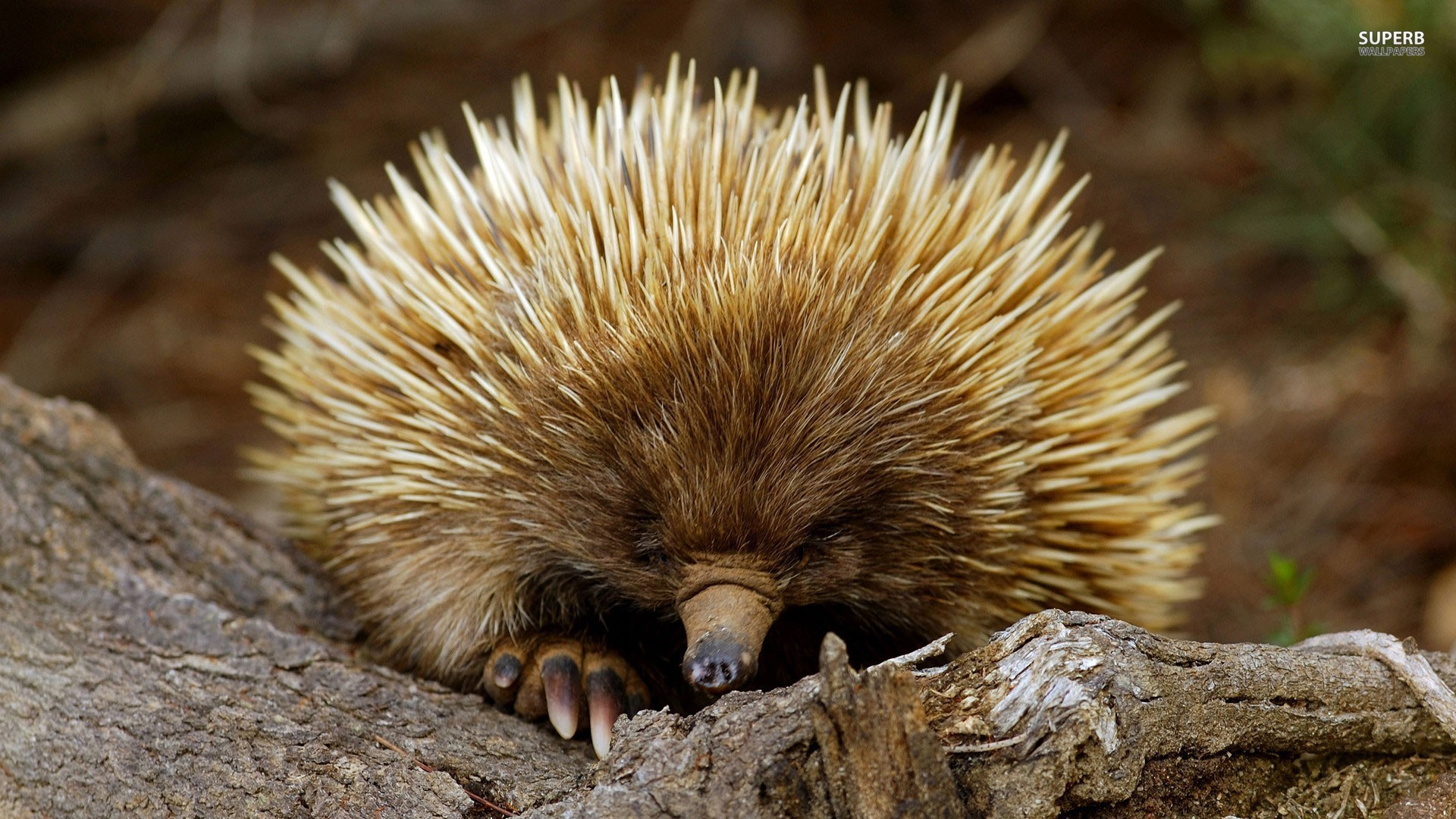 Let's Start with Transparency: I struggle to love porcupines. They bother  me. I