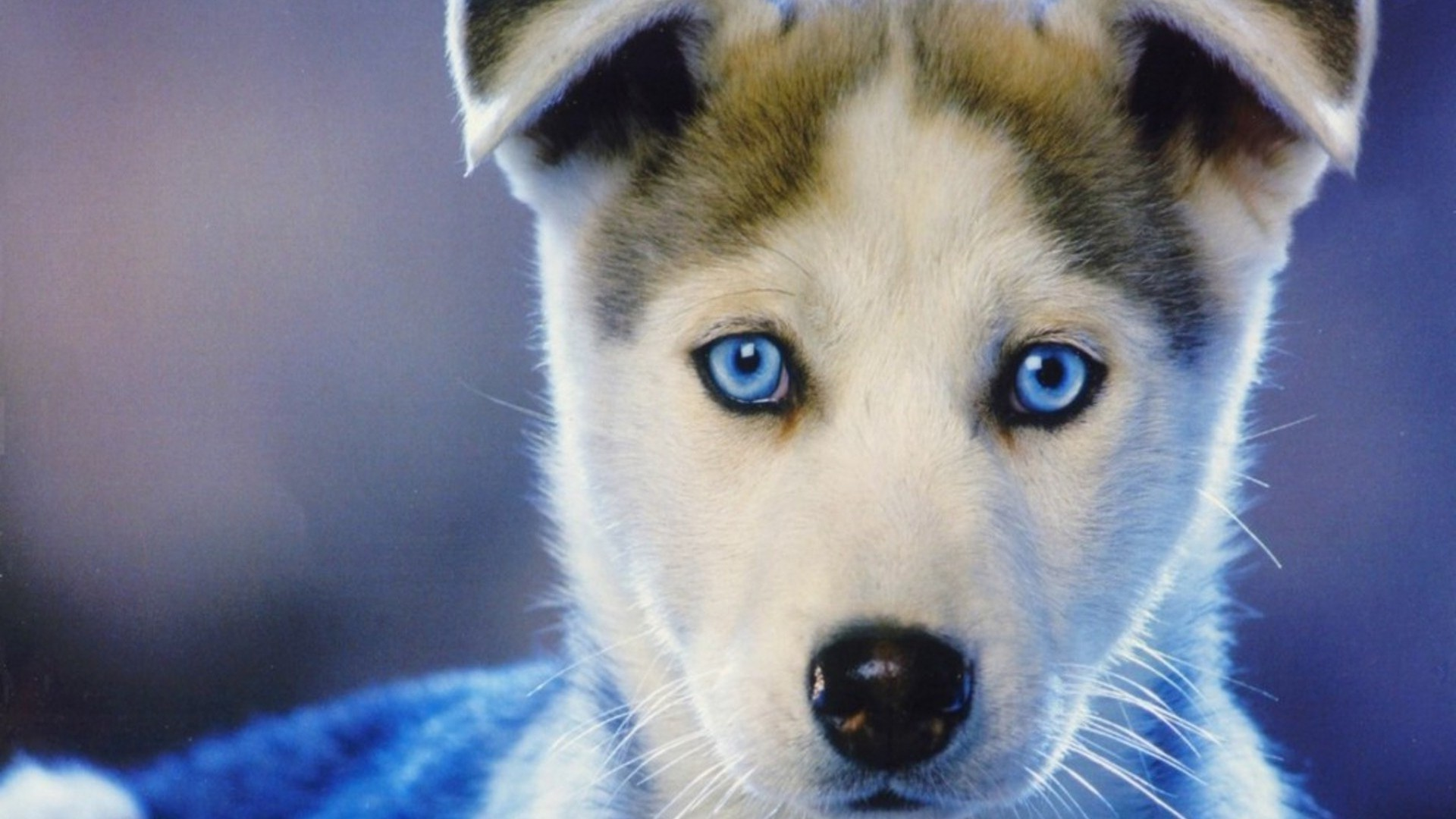 dog, Siberian Husky, Puppies, Animals, Baby Animals, Face, Closeup, Blue  Eyes, Nature, Muzzles Wallpapers HD / Desktop and Mobile Backgrounds