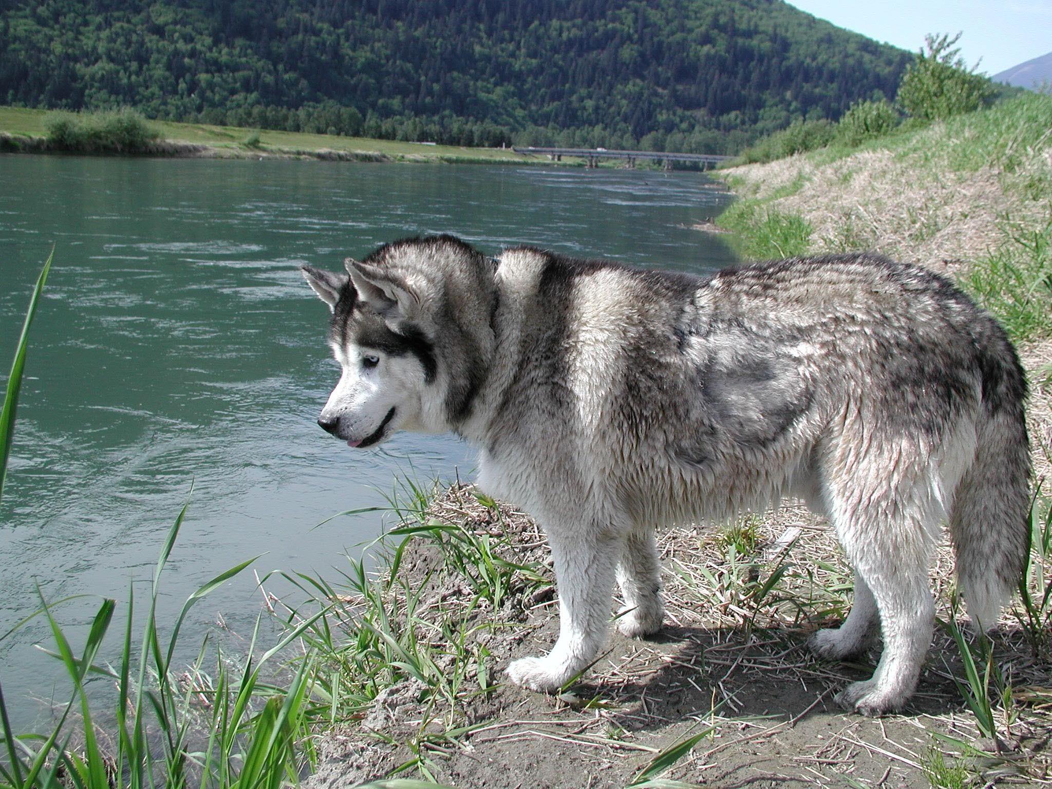 Die besten 17 Bilder zu Siberian husky auf Pinterest   Spielzeug, Welpen  und Blüten
