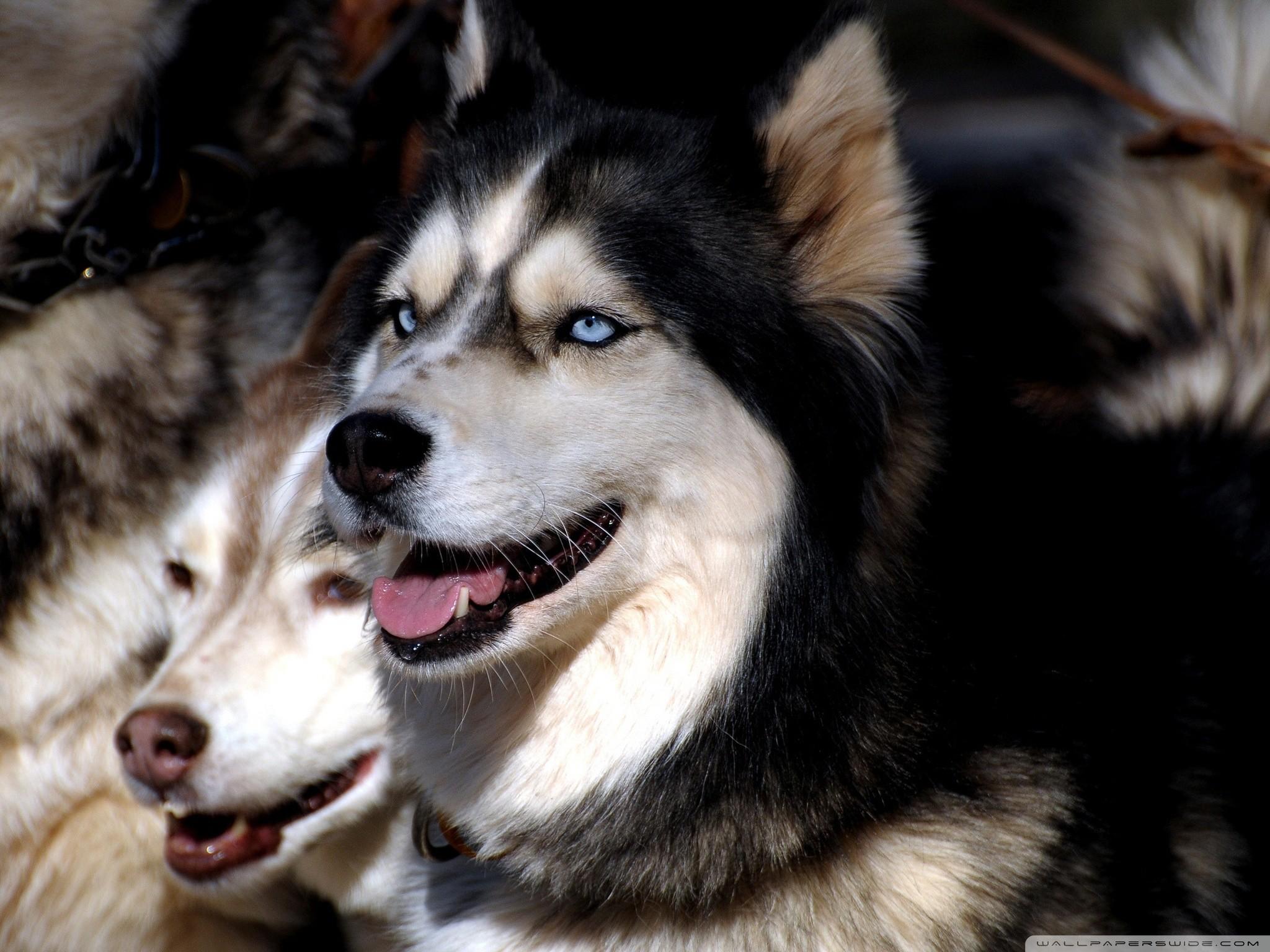 husky dogs hd desktop wallpaper : widescreen : high definition